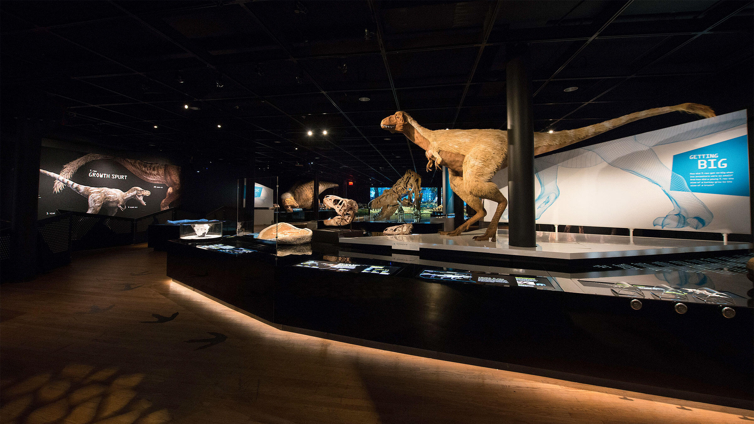 T. rex: The Ultimate Predator, on view at the American Museum of Natural History, explores the entire tyrannosaur superfamily and reveals the most scientifically accurate representation of T. rex to date—feathers and all. AMNH/D. Finnin