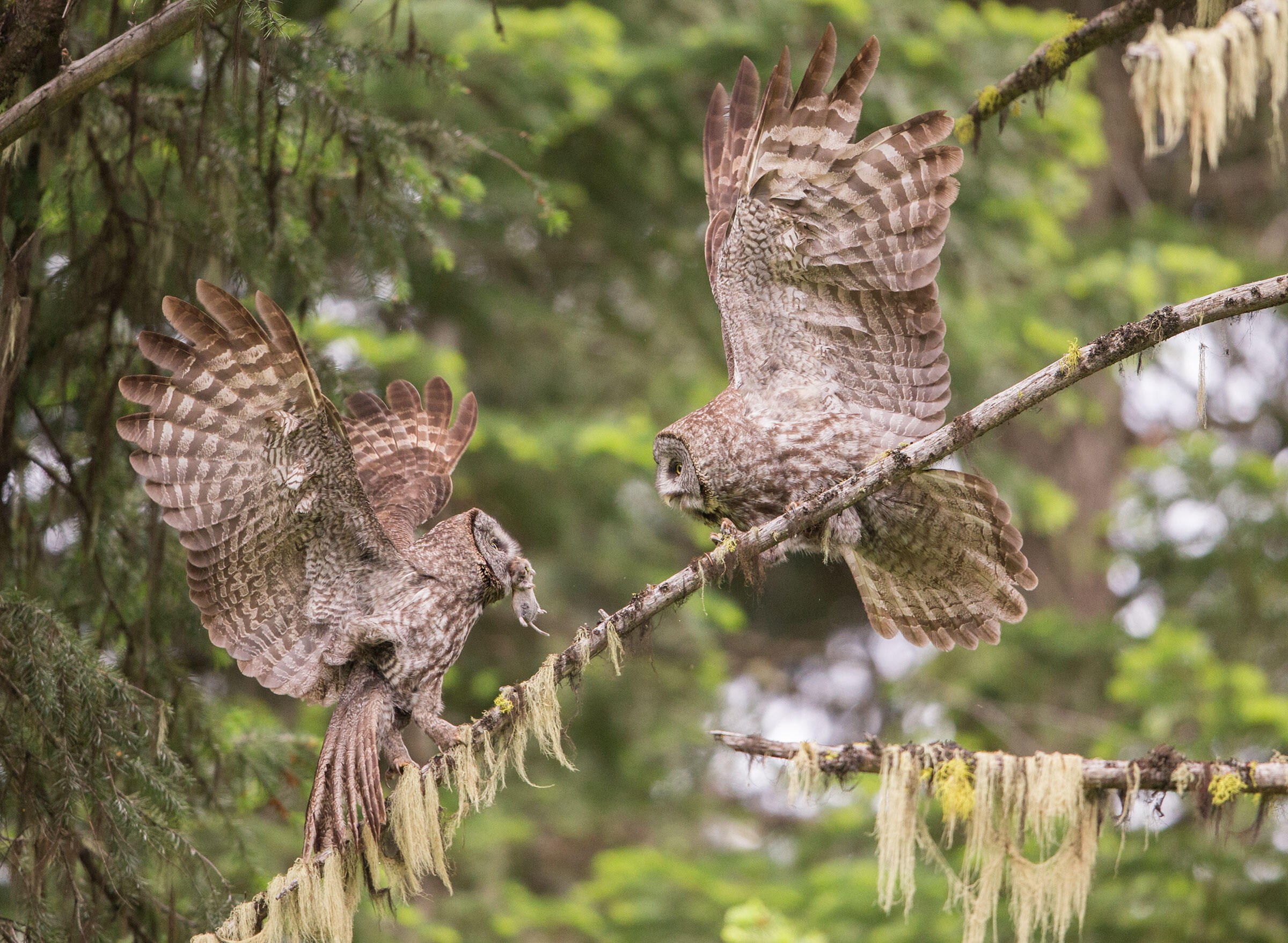 Gopher: It's what's for dinner (for these Great Gray Owls). Paul Bannick