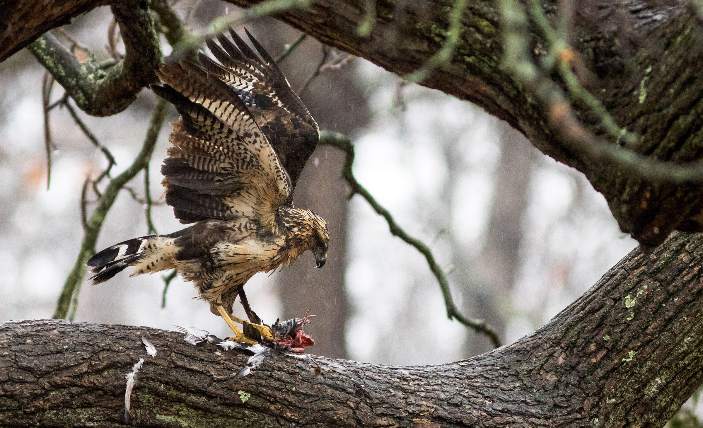 Great Black Hawk. Doug Hitchcox/Maine Audubon