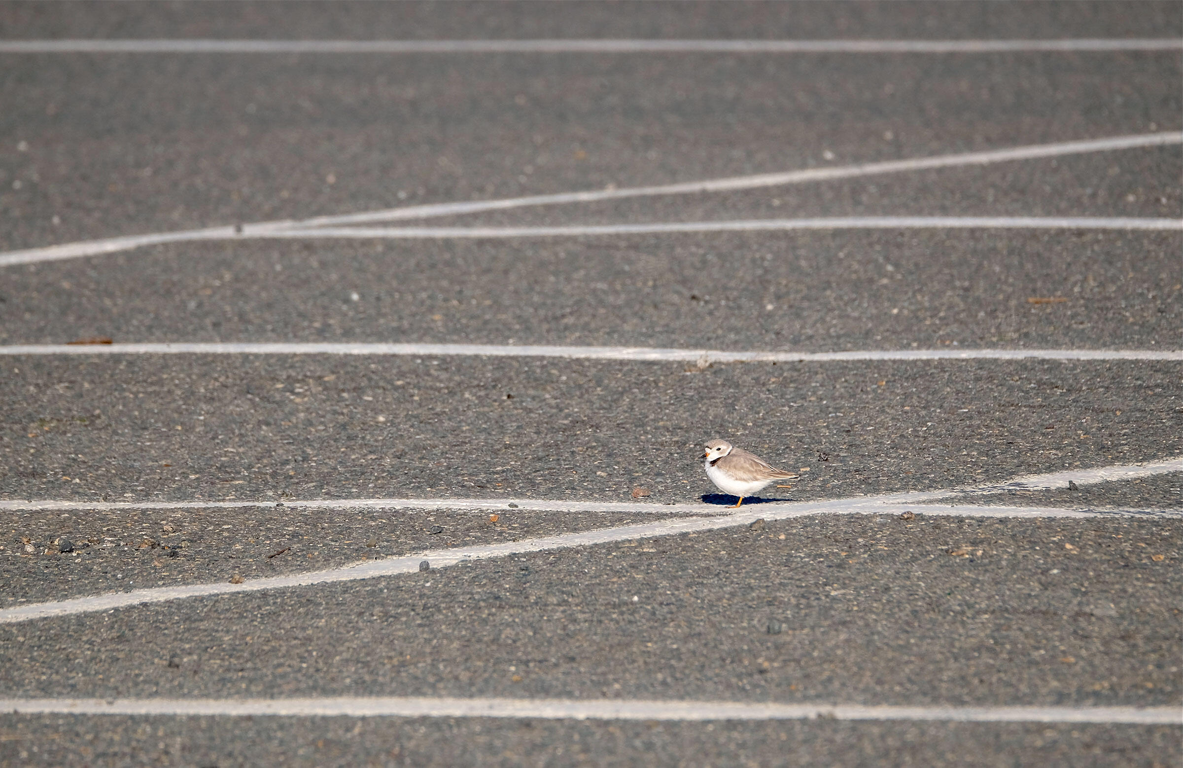 The lines of the Good Harbor Beach parking lot camouflage this Piping Plover, one of the two adults that nested on the expanse of asphalt in spring 2018. Kim Smith