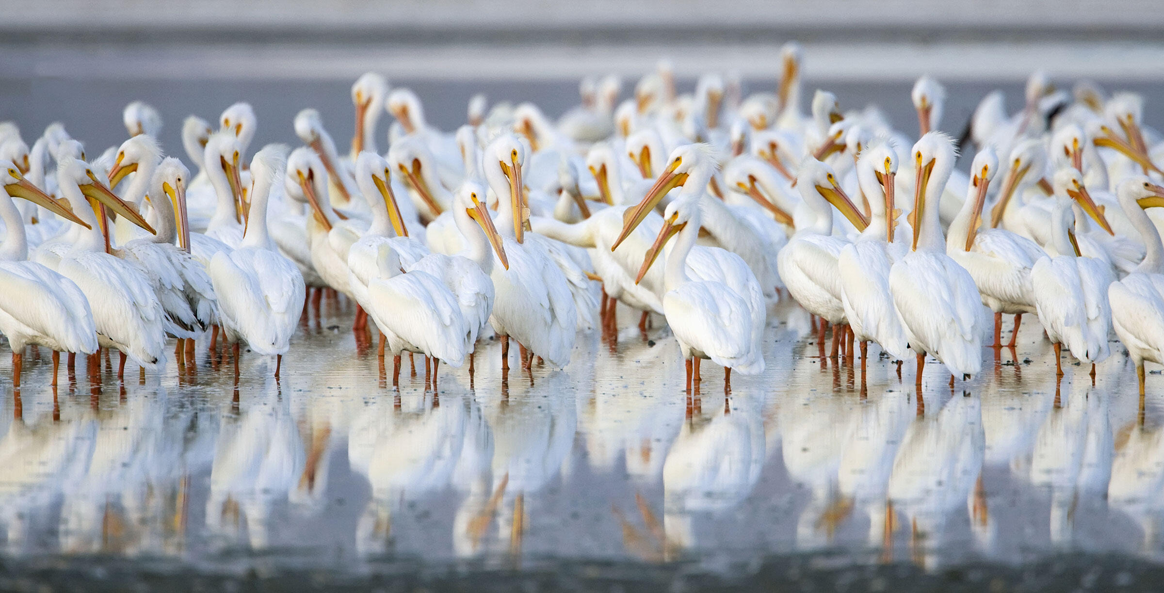 The Salton Sea is a vital stopover site for migratory species like American White Pelicans. Design Pics Inc/National Geographic Creative
