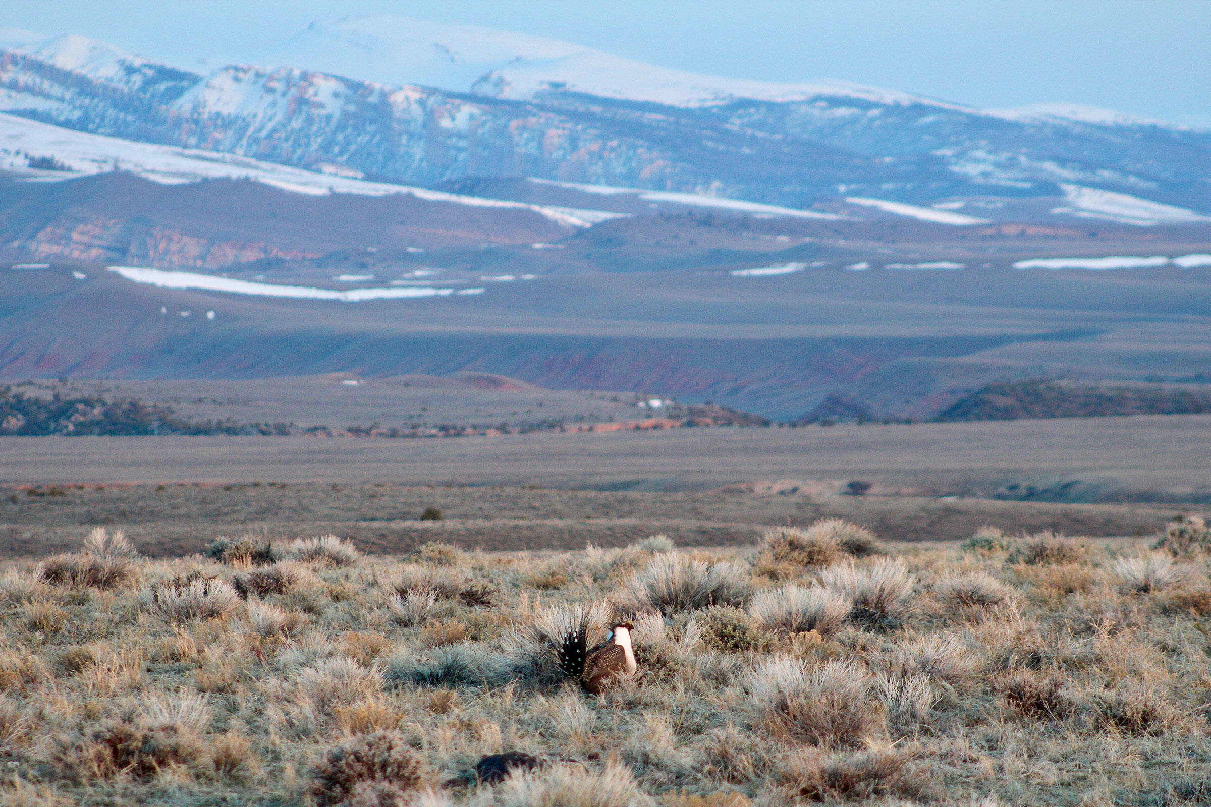 Greater Sage-Grouse have lost half of their original range and more than 90 percent of their historic population. Angela Burgess/USFWS