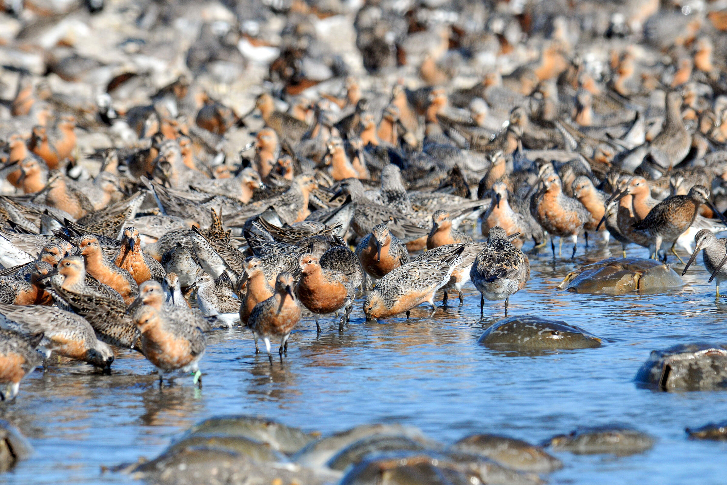 Red Knots and horseshoe crabs in Delaware Bay. Gregory Breese/USFWS