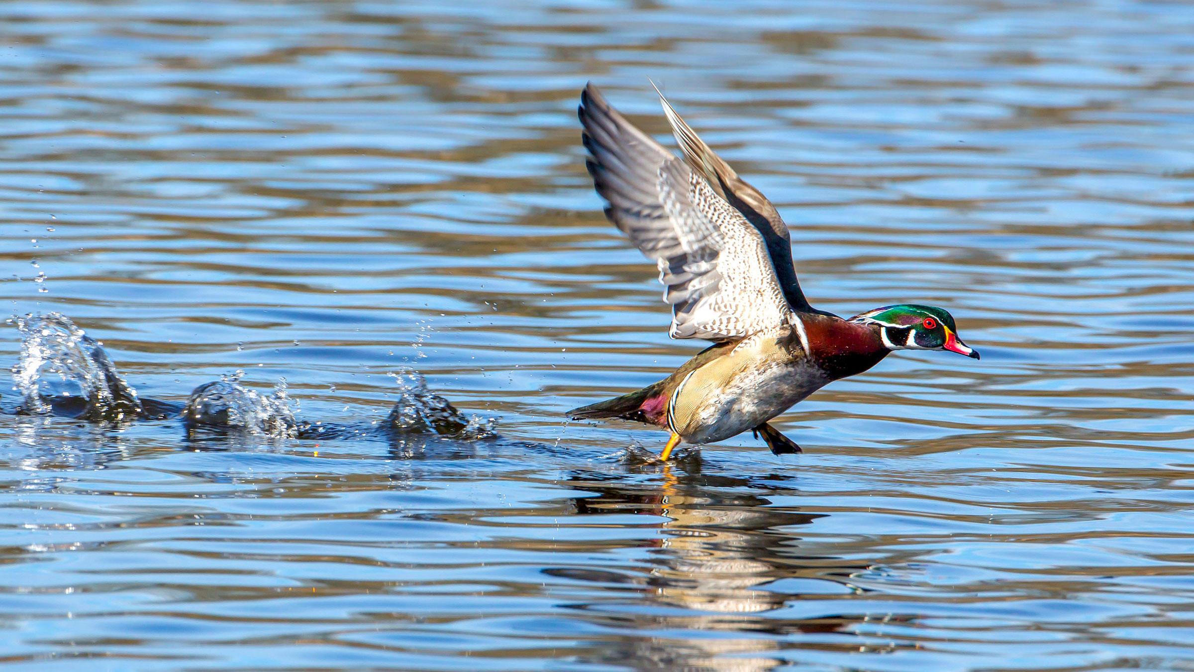 Wood Duck. Mick Thompson/Eastside Audubon