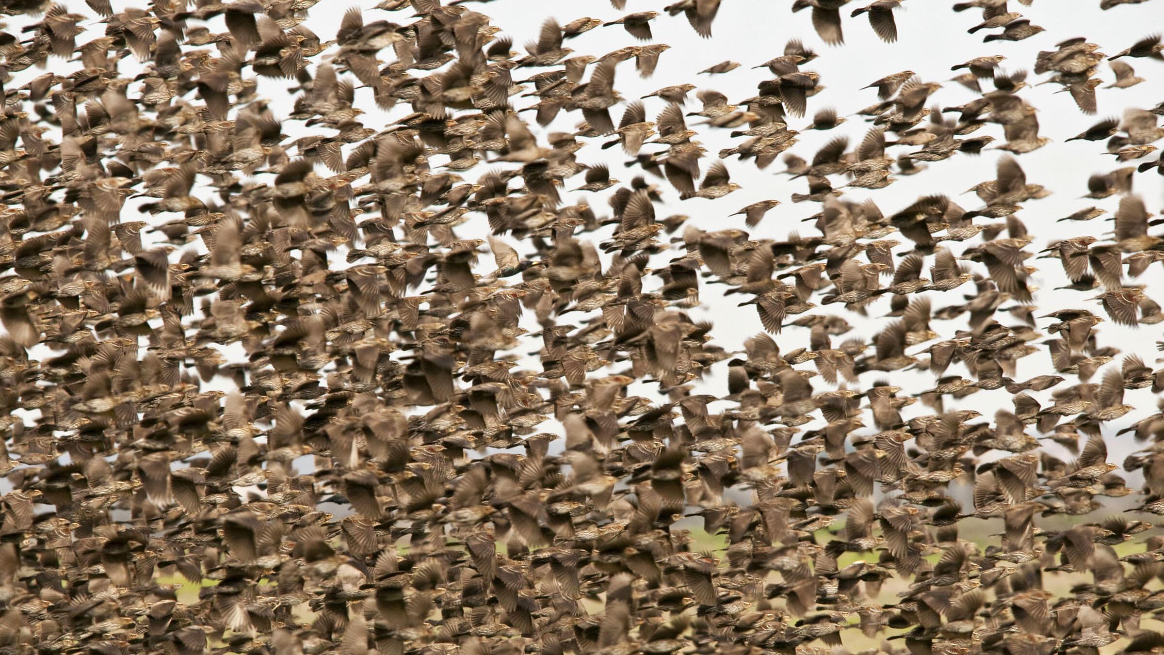 Redwinged_Blackbirds_Dennis_Demcheck_Great_Backyard_Birdcount_participant