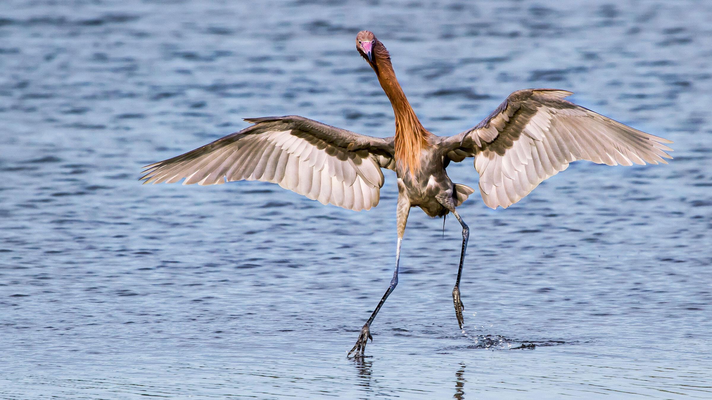 Reddish Egret. Andy Morffew/Flickr Creative Commons