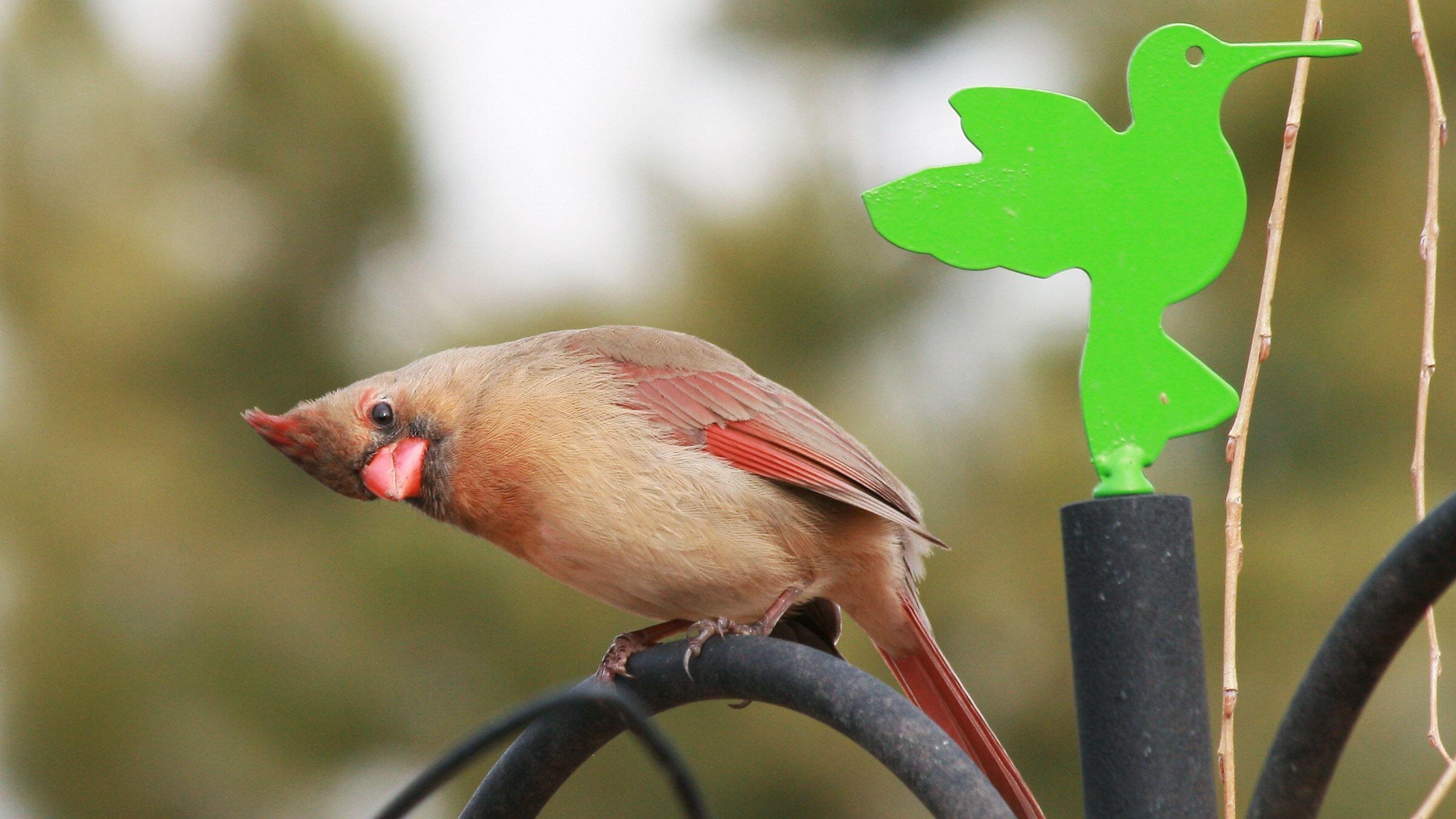 Lesley Val Adams/Great Backyard Bird Count Participant. Northern Cardinal. Lesley Val Adams/Great Backyard Bird Count