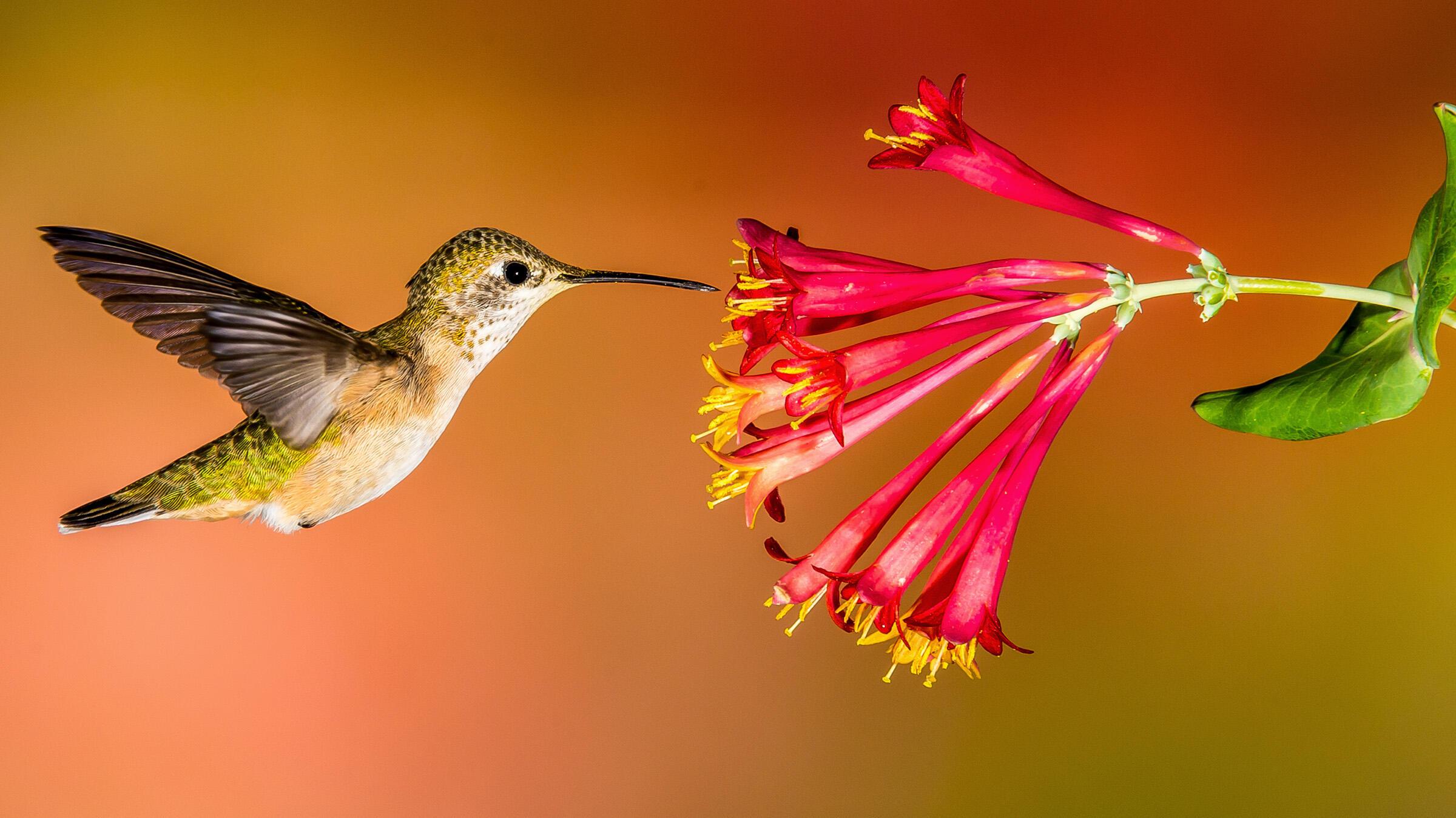 Broad-tailed Hummingbird at a Trumpet Honeysuckle. Roger Levien/Audubon Photography Awards