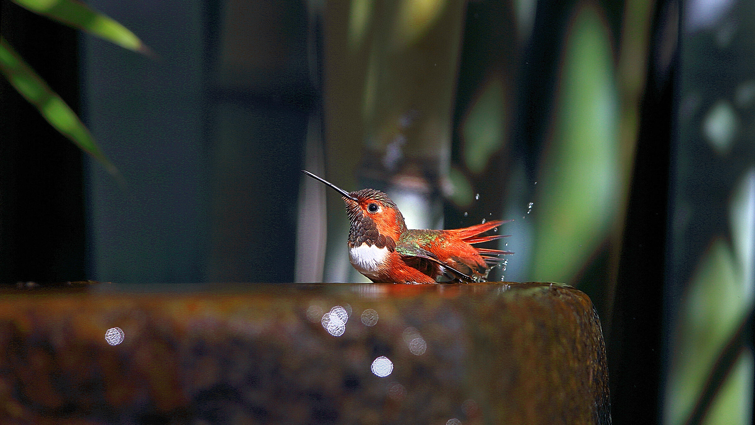 Allen's Hummingbird. Lou Orr/Great Backyard Bird Count