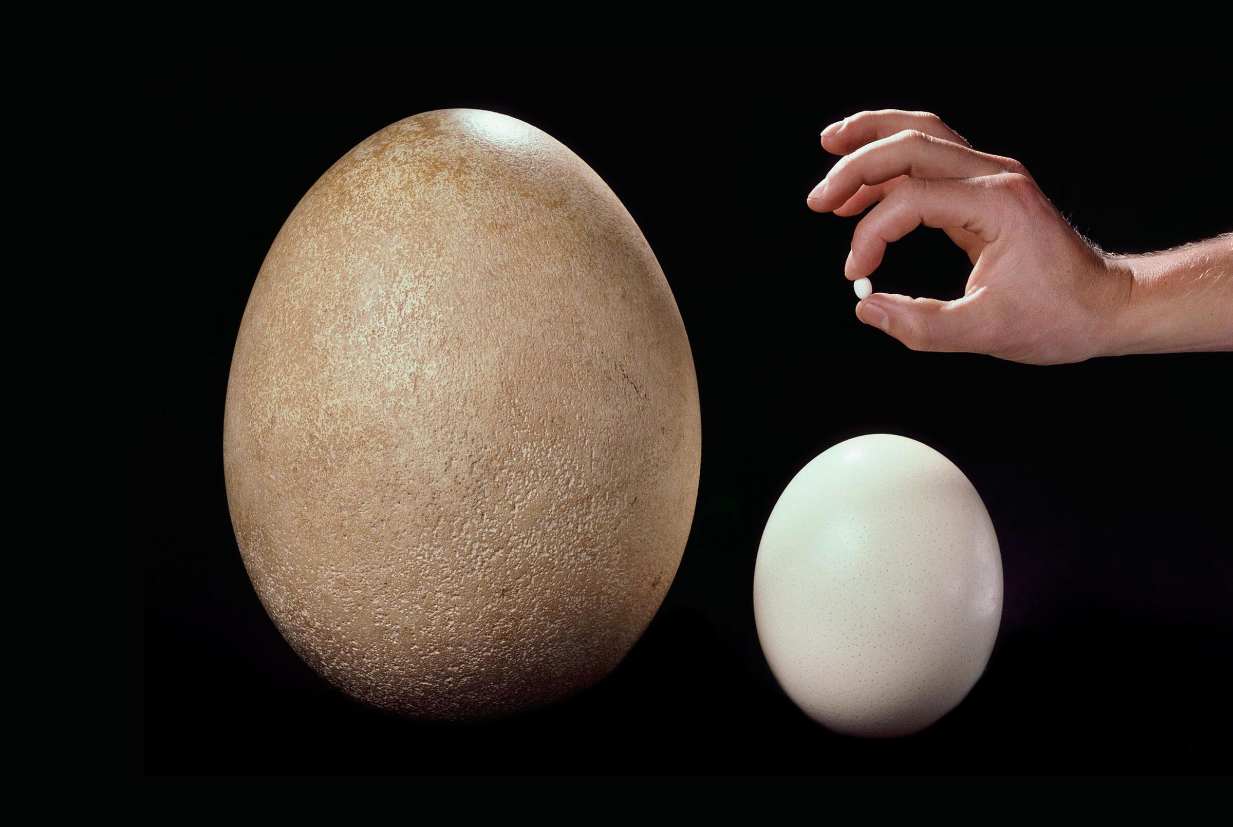 Clockwise from left: Elephant Bird egg (extinct), Hummingbird egg, Ostrich egg. Frans Lanting.