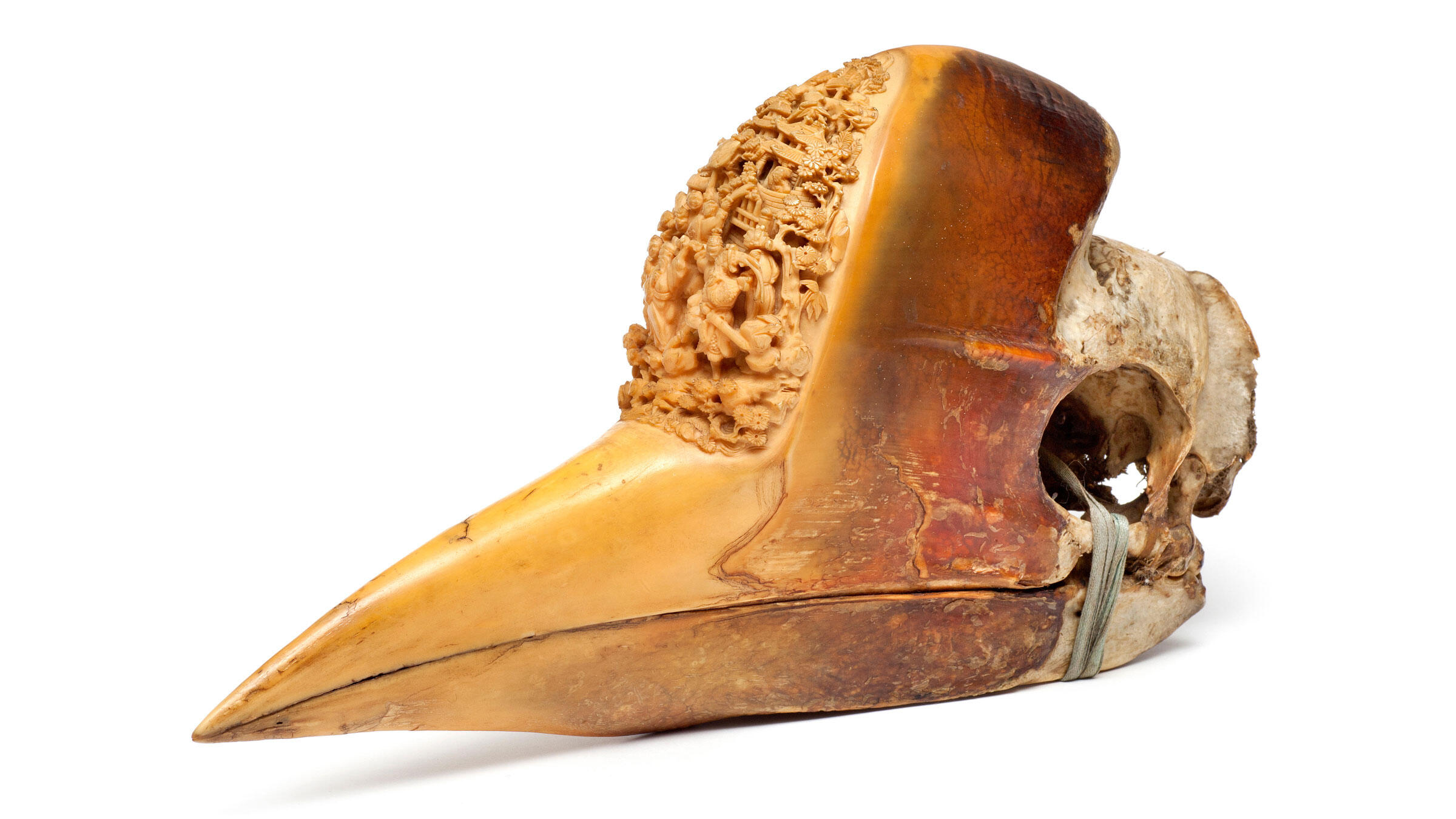 The carved casque of a Helmeted Hornbill at the Natural History Museum of London. The Natural History Museum/Alamy.