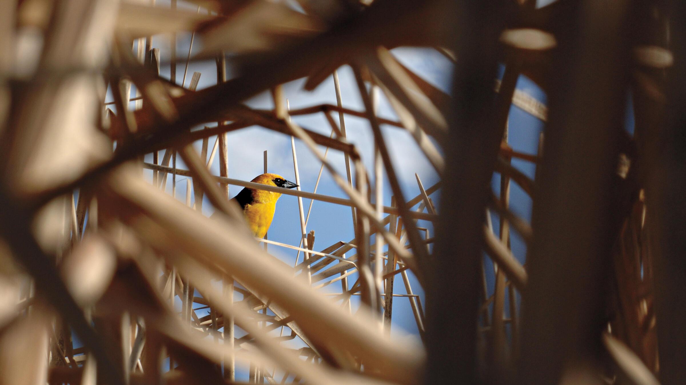 Yellow_Headed_Blackbird_Michael_Forsberg. Yellow-headed Blackbird. Michael Forsberg
