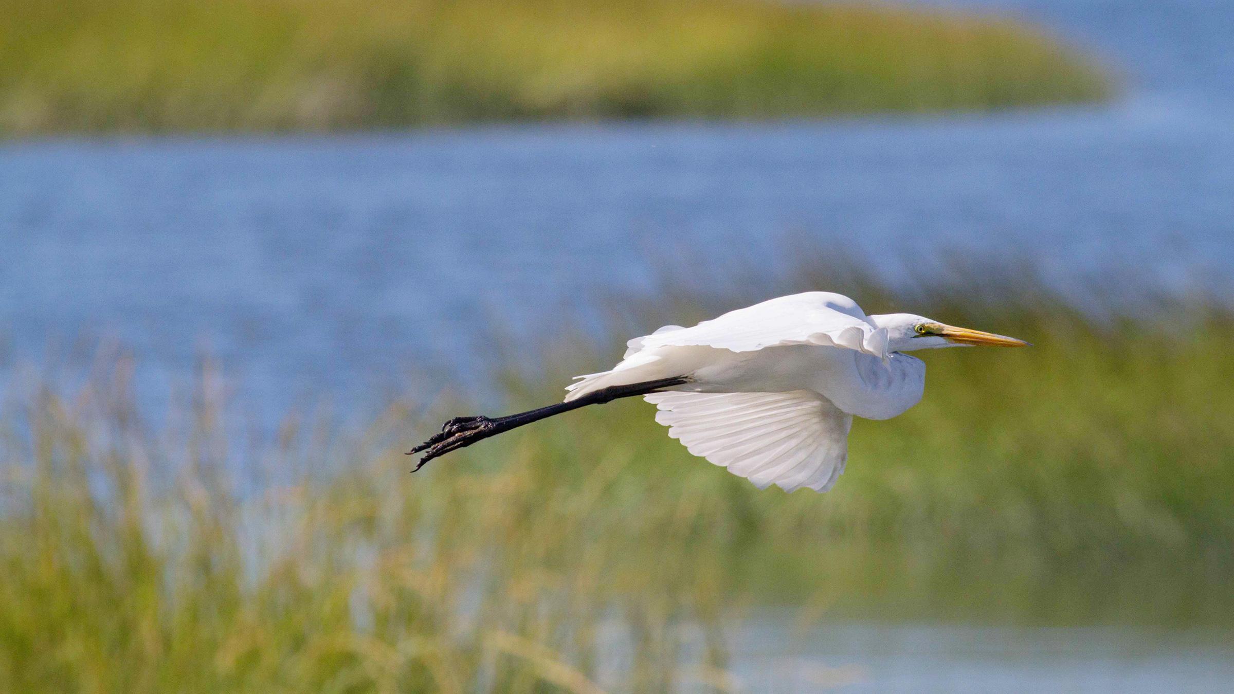 Great_Egret_Christine_Howe_Audubon_Photography_Awards