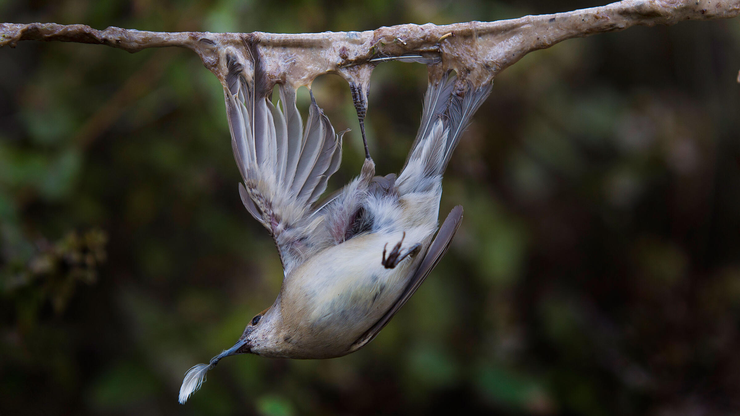 A female Blackcap hangs from a gluey, sap-covered branch made by songbird poachers in Ayia Napa, Cyprus. The bird was released by activists from the Committee Against Bird Slaughter. David Guttenfelder/National Geographic/AP
