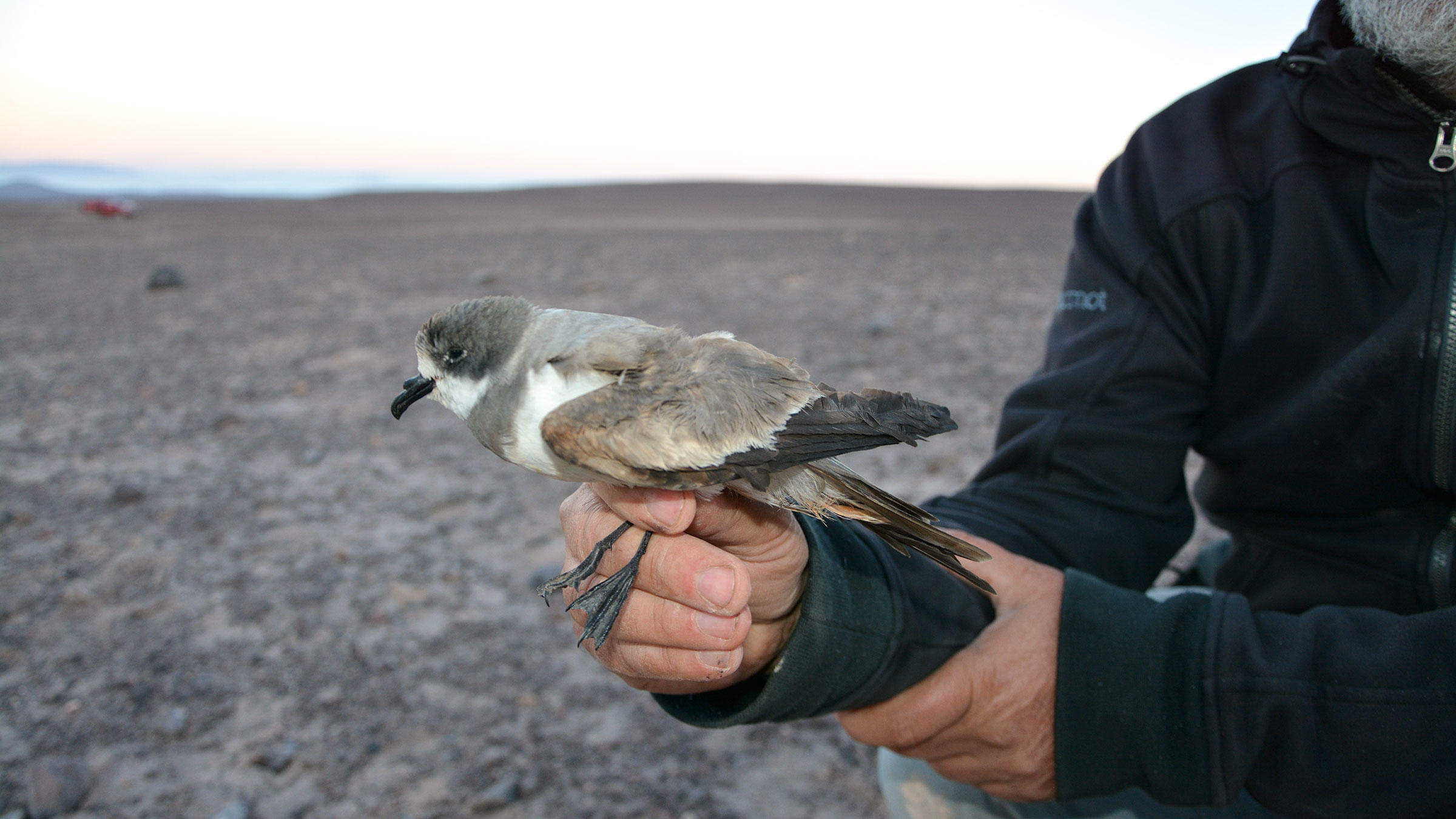 A Hornby's Storm-Petrel at the site where the colony was discovered in the Atacama Desert. Felipe de Groote