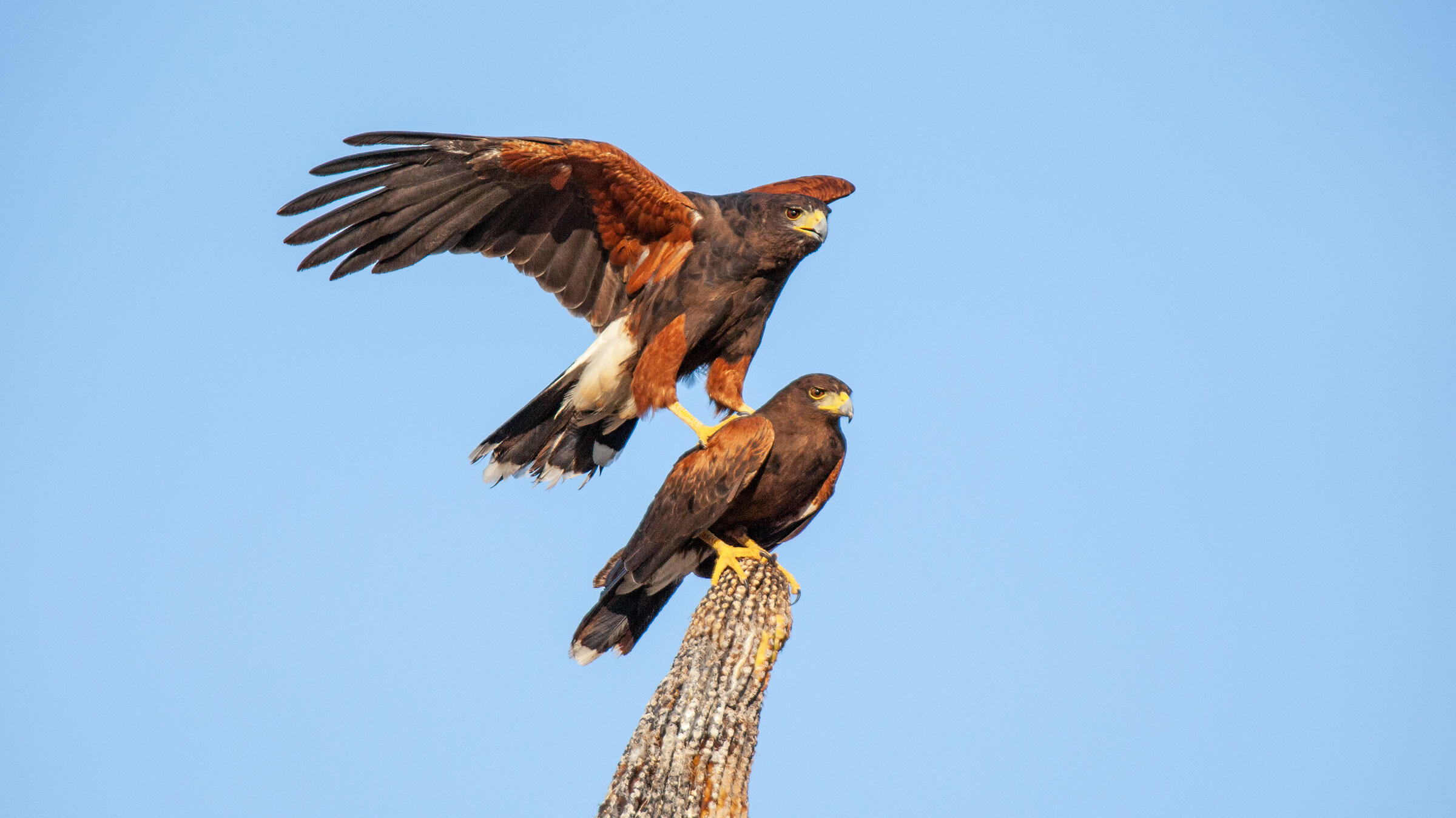 Better Know A Bird How Harris S Hawks Hunt Like Wolves To Bring Down Prey Audubon