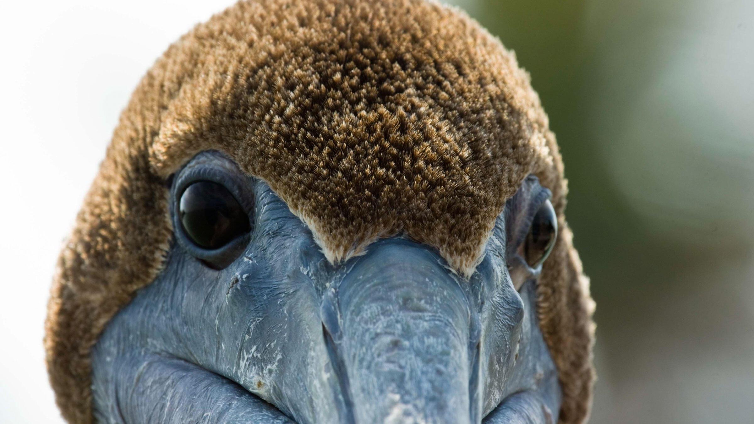 Brown_Pelican_Carl_Velie_Audubon_Photography_Awards