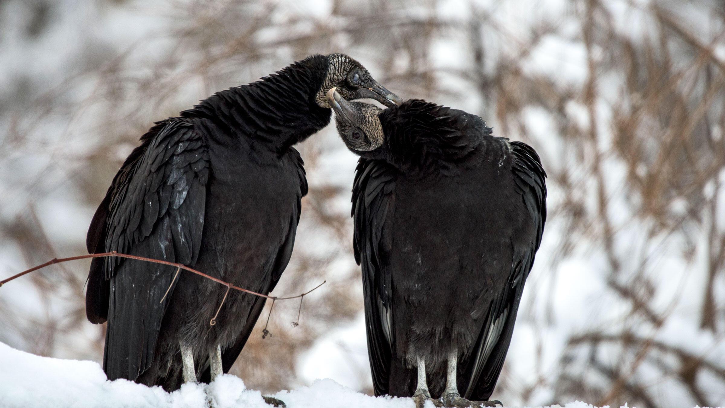 Black Vultures. Susan Murray/Audubon Photography Awards