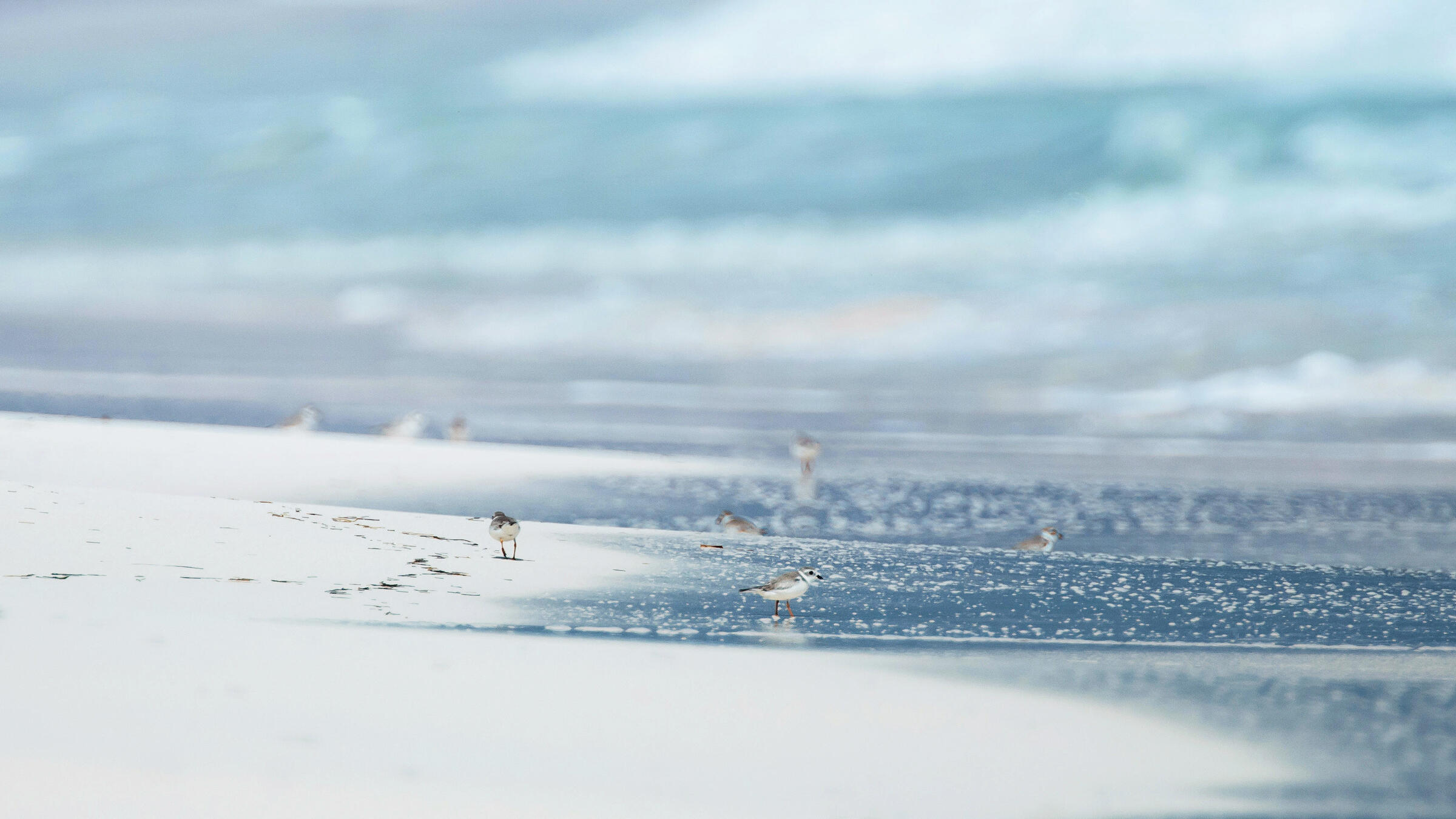 Piping Plovers on the island of Abaco, part of the Bahamas. Walker Golder/Audubon