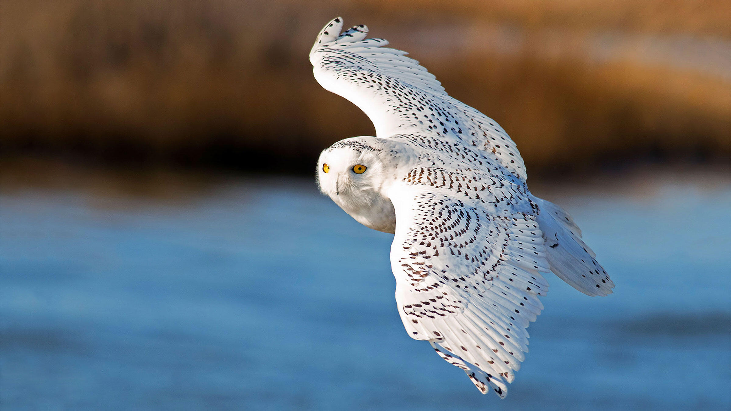 Keep your wits (and eBird) about you: You don't want to miss your chance to see a Snowy Owl in the Lower 48. Brian Kushner