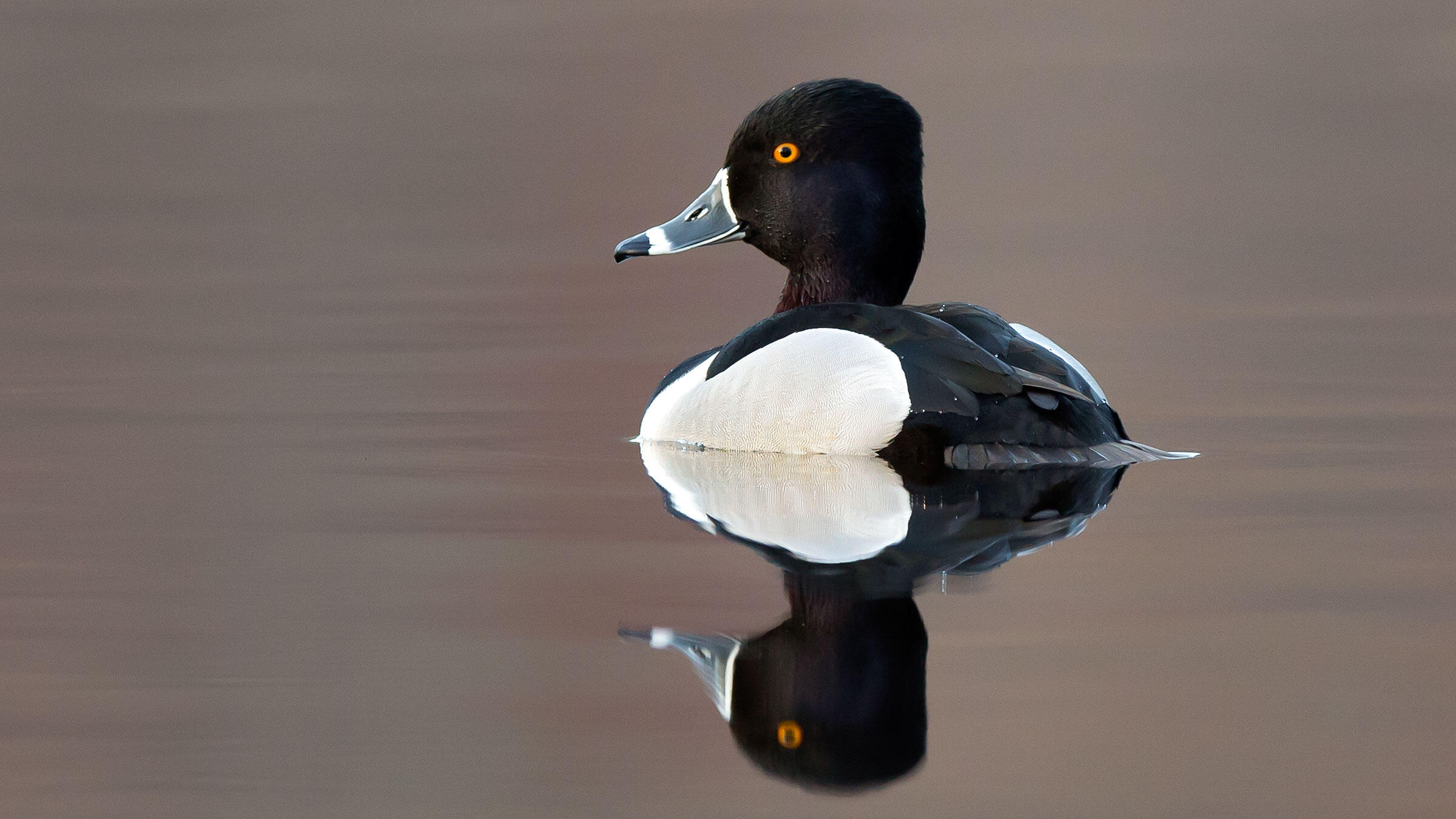 A Ring-necked Duck showing off its unmistakable ringed bill, the field mark for which the bird could be renamed. Rob Sabatini/Audubon Photography Awards