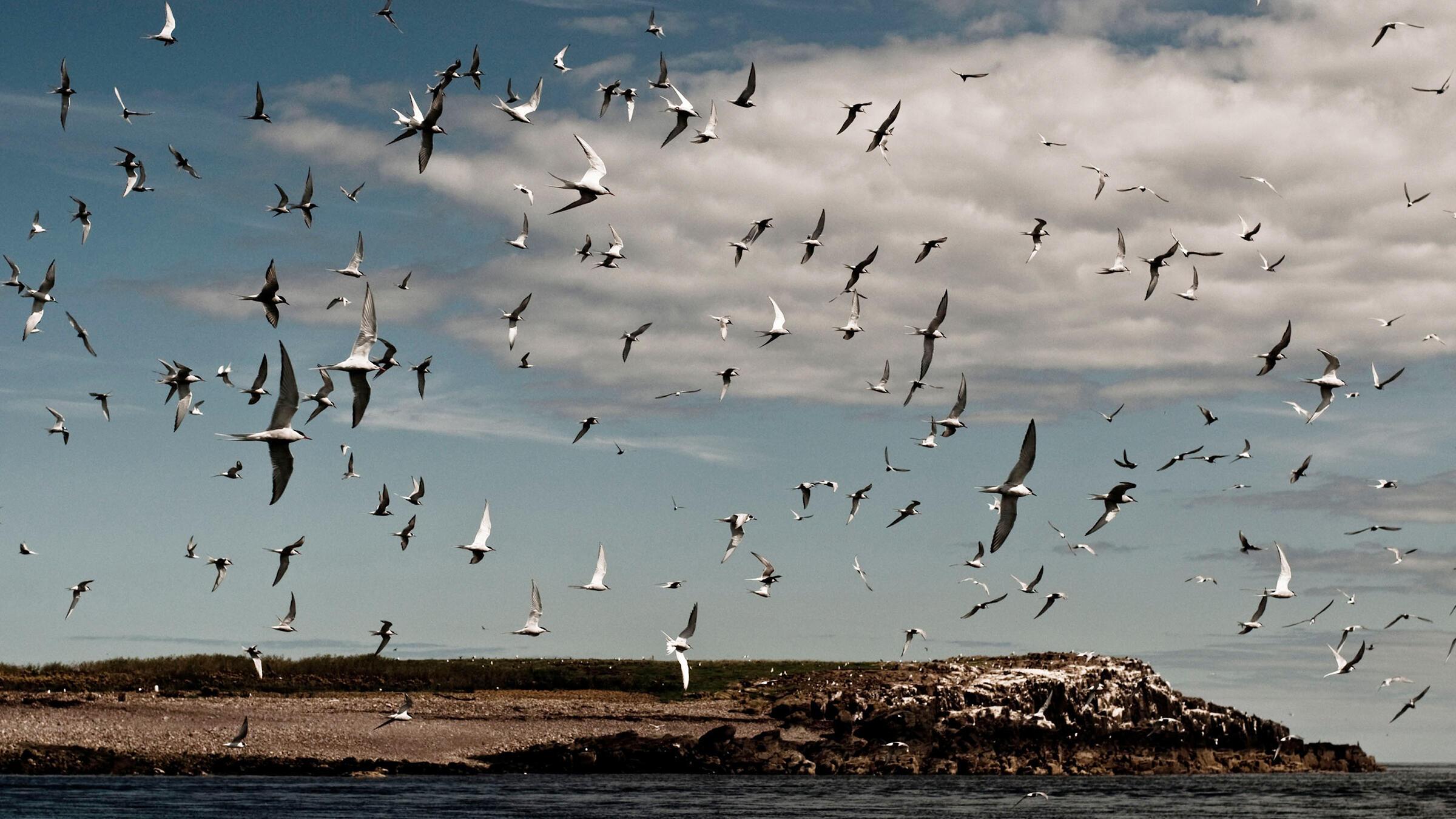 A flock of Arctic Terns. Diana Pappas Photography/Alamy