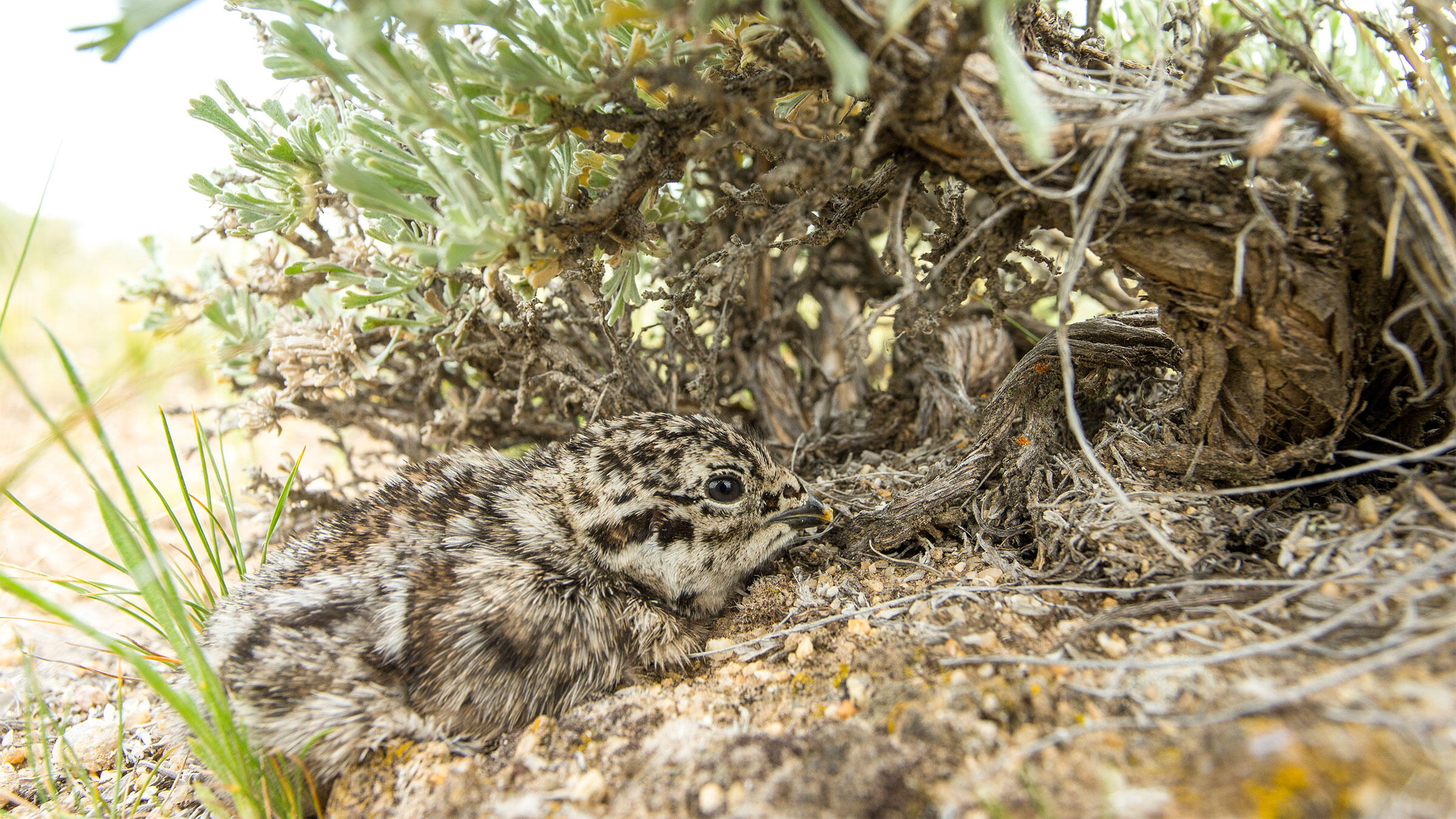 Greater Sage-Grouse nests can be extremely hard to find, and if a female grouse feels disturbed or that she has lost too many eggs, she might abandon a nest. Noppadol Paothong