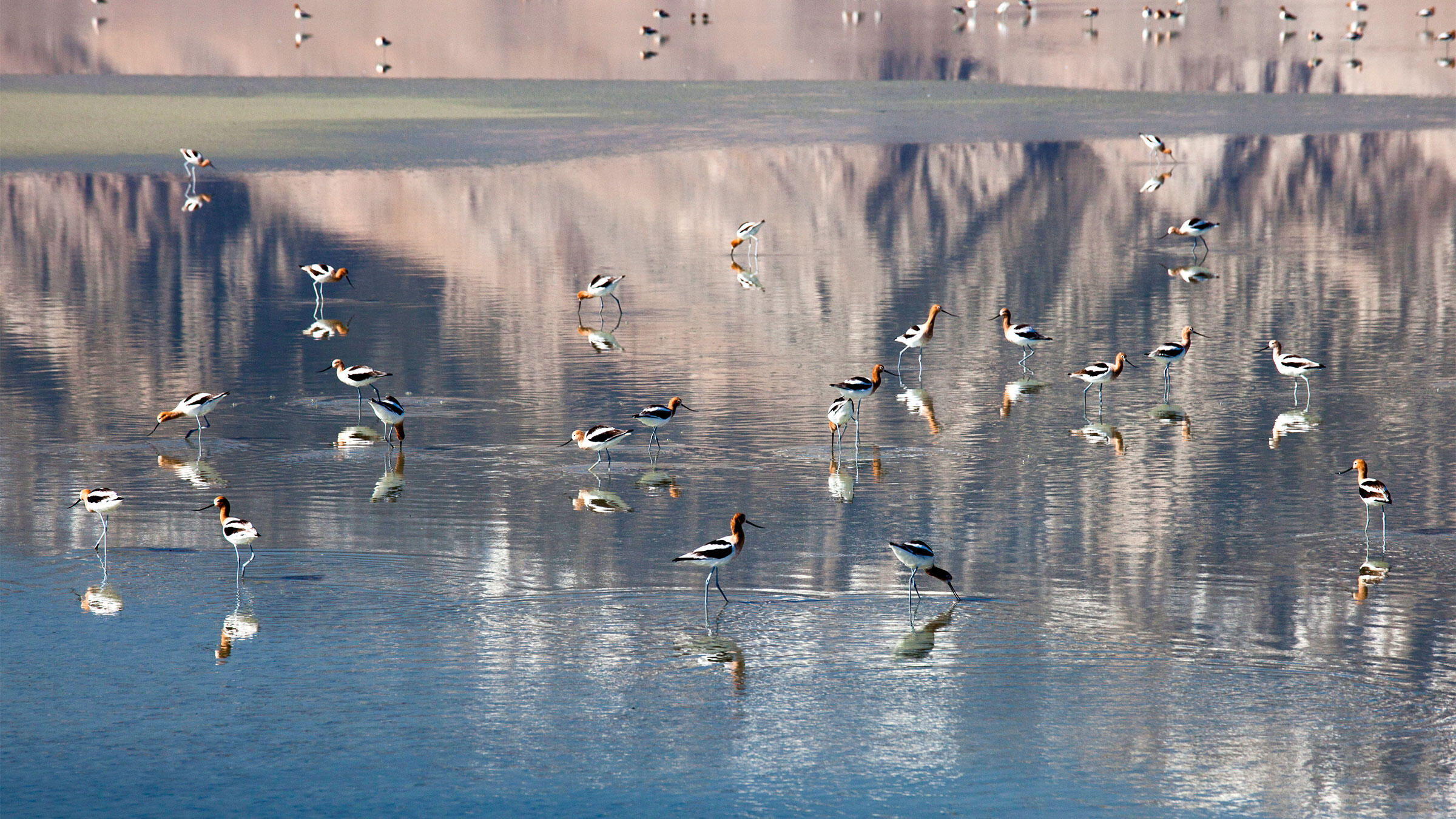 California's Owens Lake had all but disappeared by the 1990s. But once a multi-partner conservation effort got water routed back to the parched lakebed, birds like the American Avocet swiftly returned. Jim West/Alamy
