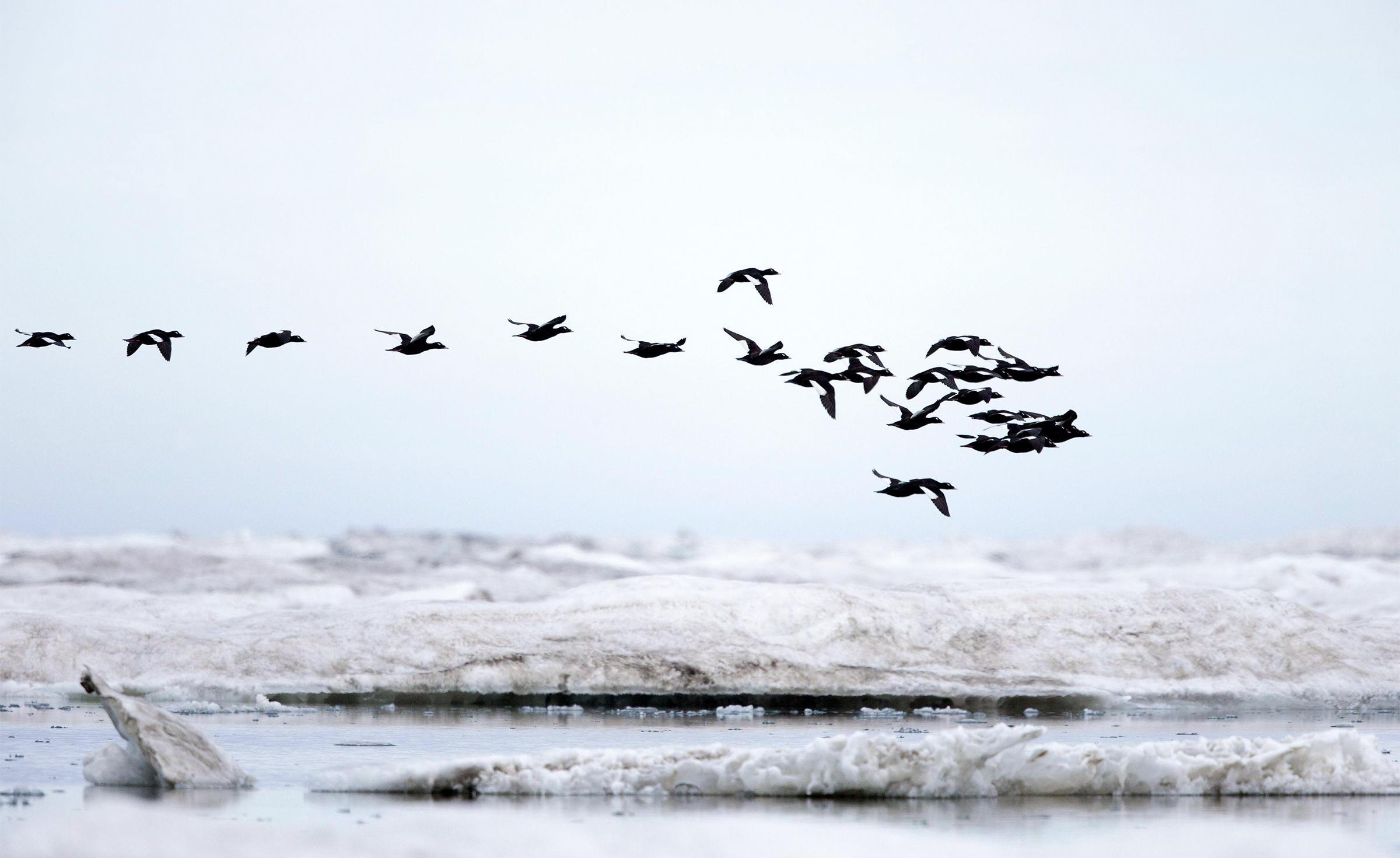 White-winged Scoters. Hemis/Alamy