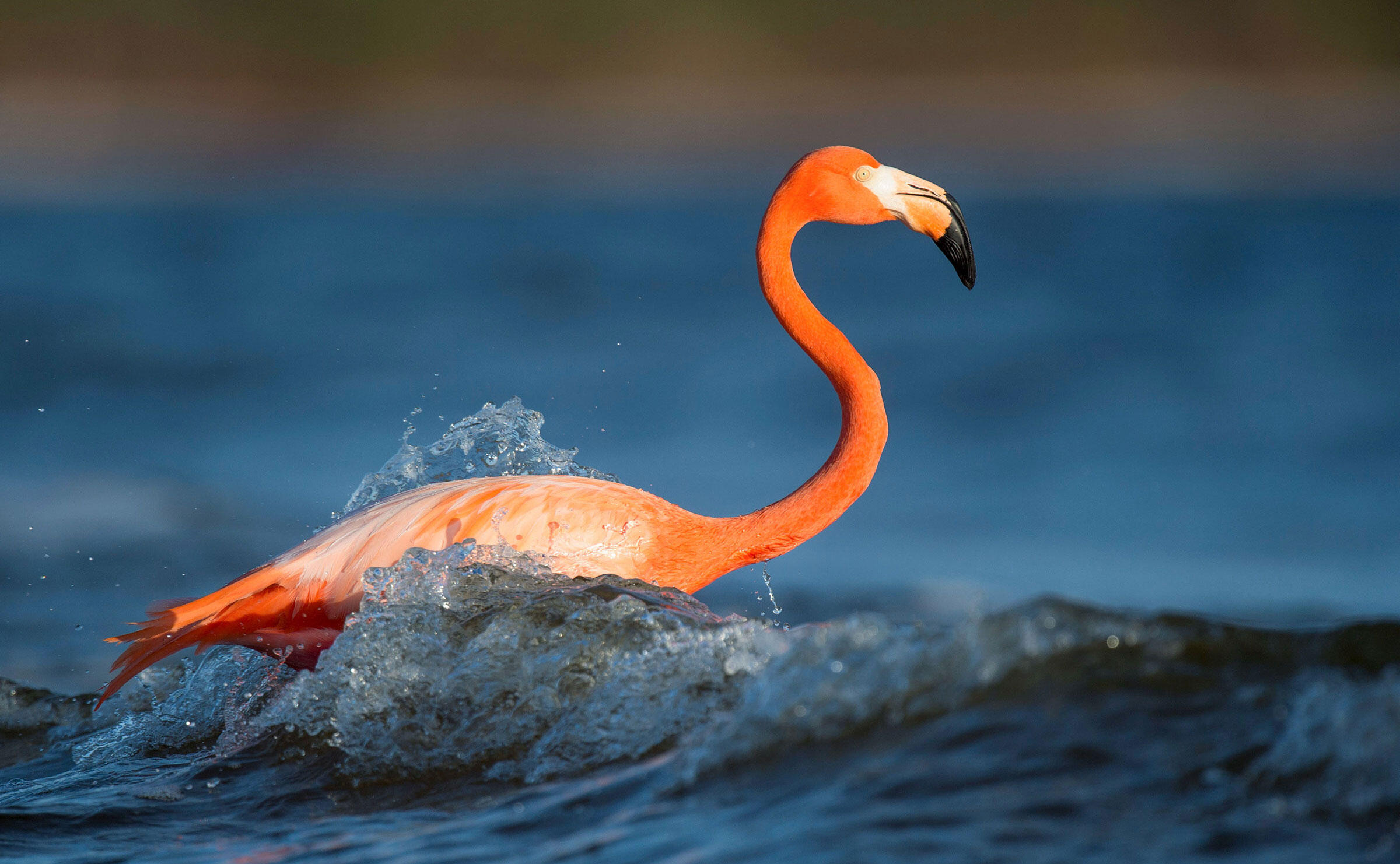 An American Flamingo in its very natural element in Florida. Raymond Hennessy/Alamy