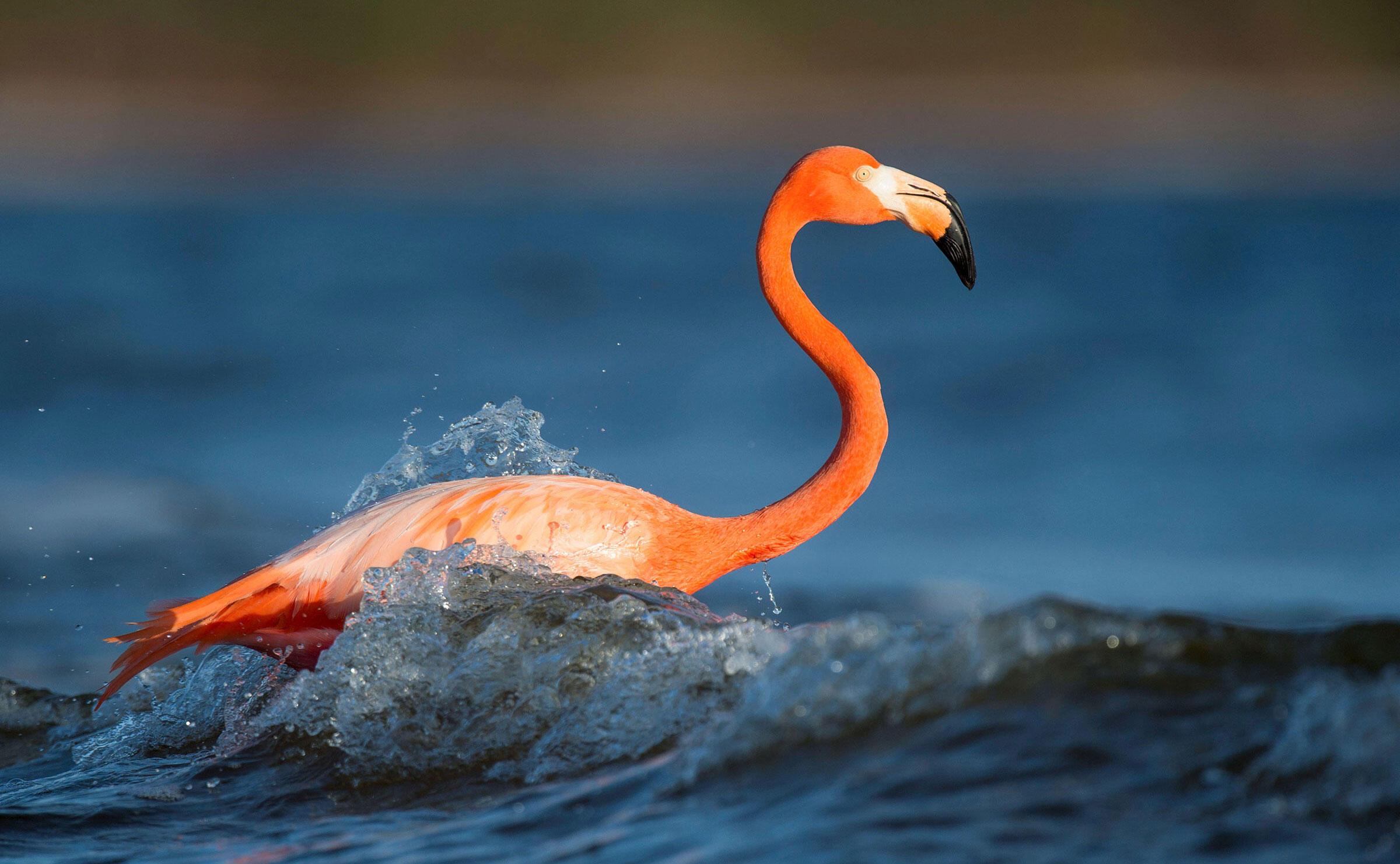 It S Official Flamingos Belong In Florida Audubon
