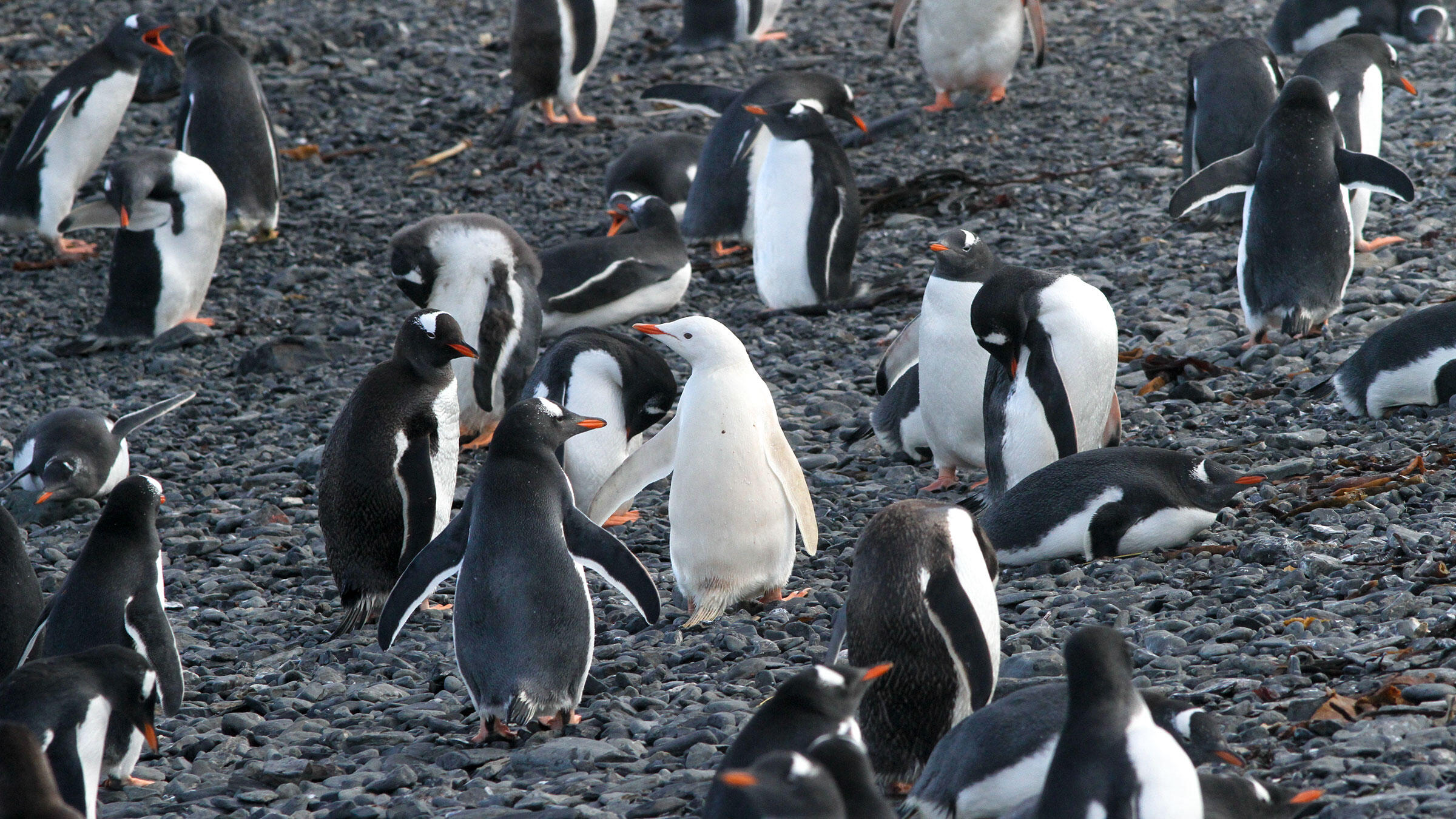 The condition behind this Gentoo Penguin's all-white feathers is unknown, but one thing's for sure: It's a great way to stand out in a crowd. Noah Strycker