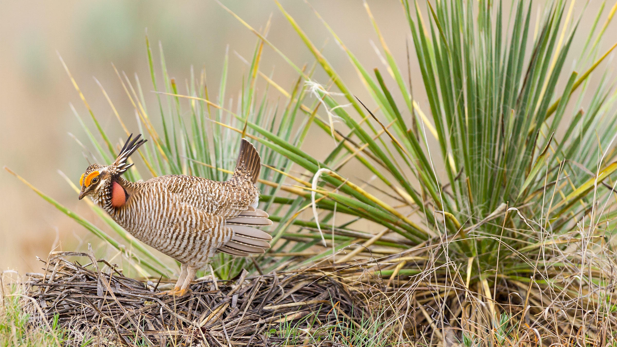 """Oil and gas motives pushed the Lesser Prairie-Chicken off the endangered species list last summer. There could be more of where that came from in upcoming months. <a href=""""www.nopnatureimages.com"""">Noppadol Paothong</a>"""