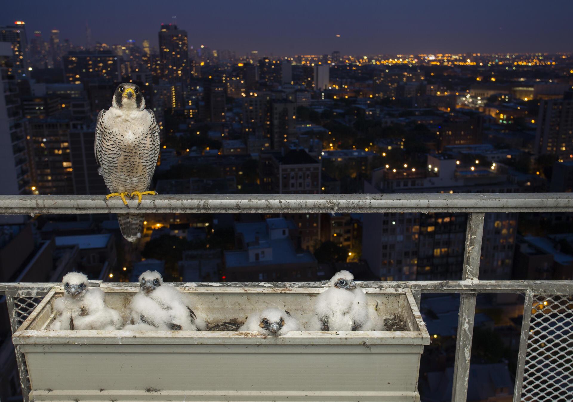 "Peregrine Falcons. <a href=""http://www.lmasseyimages.com"">Luke Massey </a>"