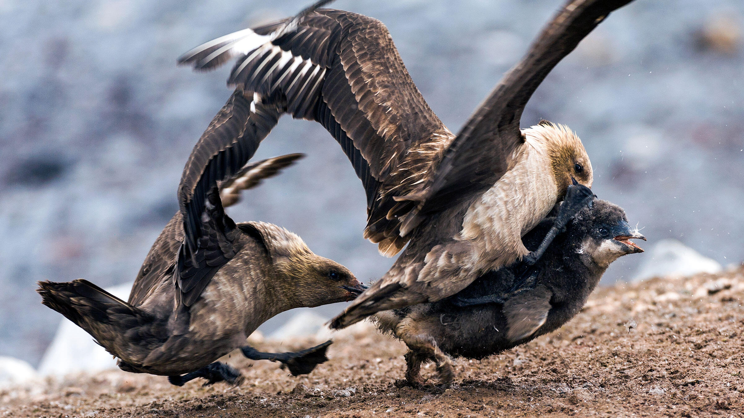 A pair of powerful South Polar Skuas attack an Adelie Penguin chick. Jason Edwards/National Geographic Creative