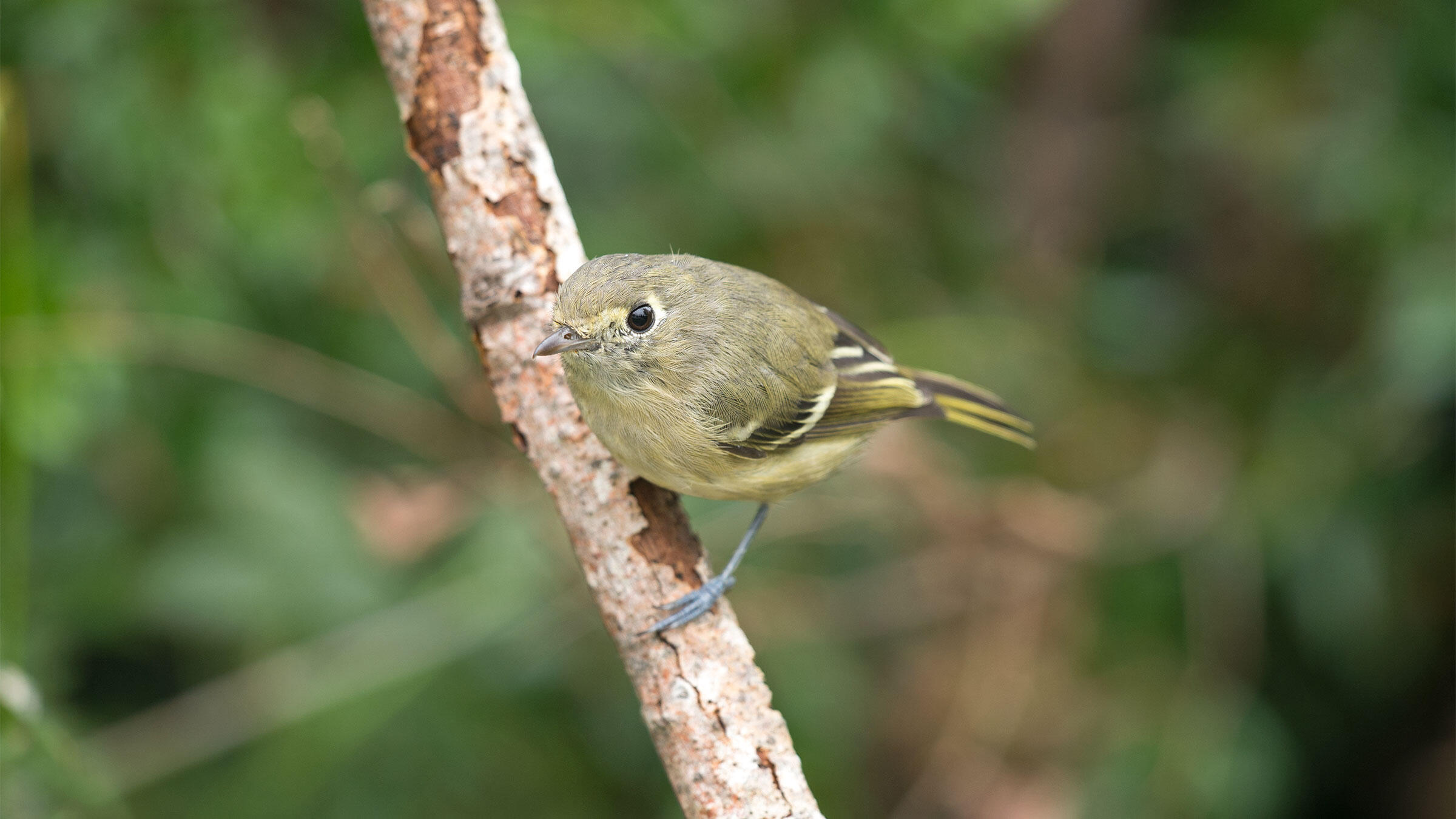 This Hutton's Vireo has a fetching face. But see it in a tree full of other songbirds, and all of a sudden, it's not so memorable. Vickie Anderson/National Geographic Creative