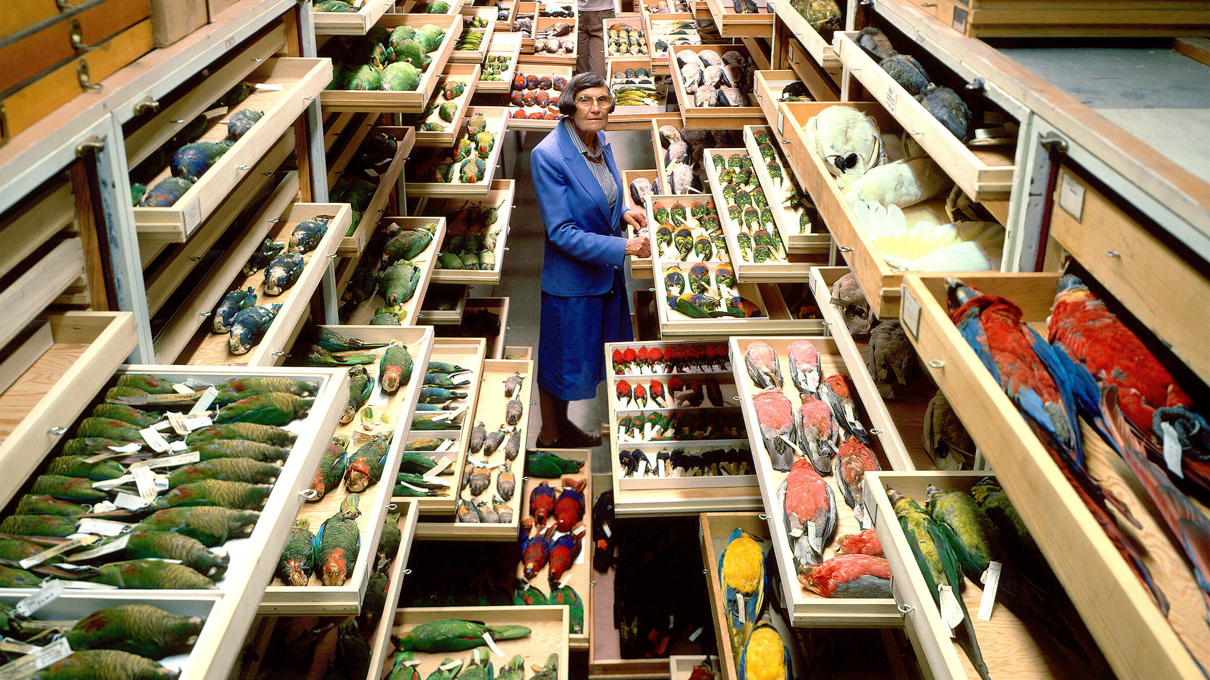 Roxie Laybourne, a feather identification expert, in the Smithsonian Institution's National Museum of Natural History Bird Collection. Chip Clark