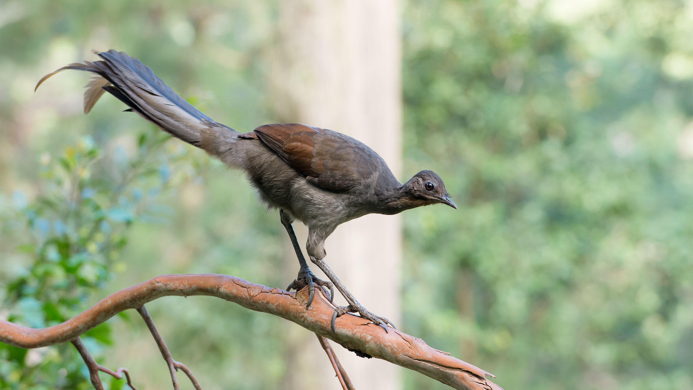Lacking the dazzling display of the male, the Superb Lyrebird lady has many talents of her own. Justin Welbergen