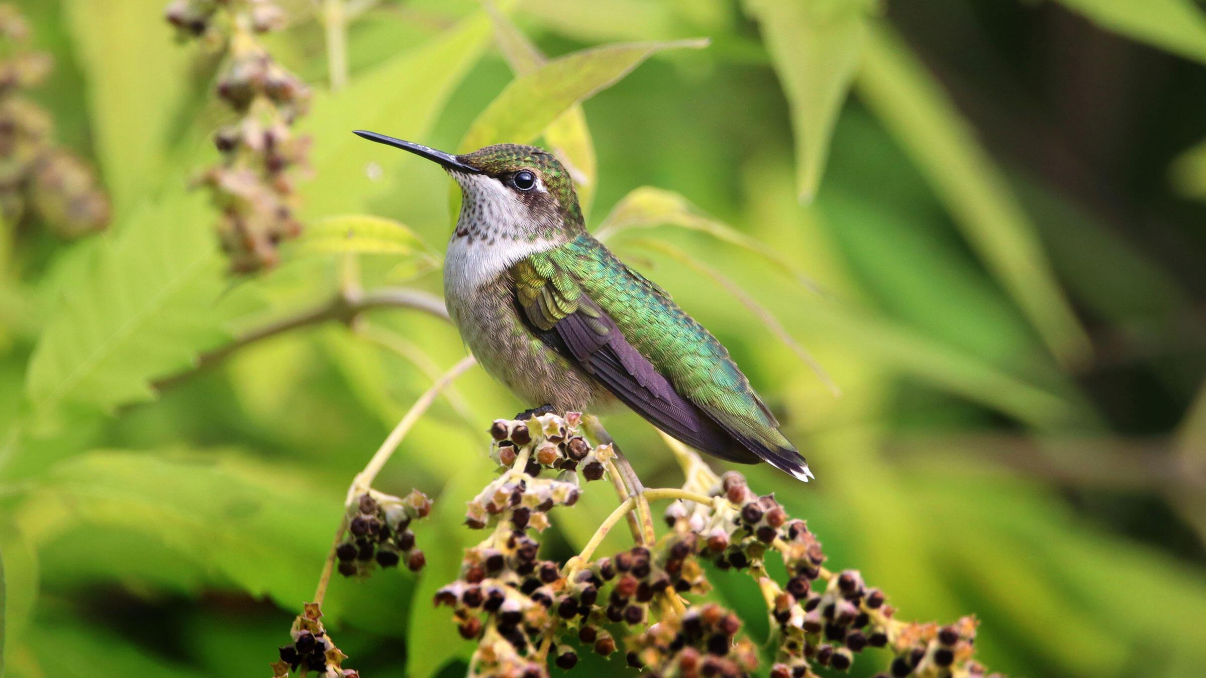 Ruby-throated Hummingbird. Jordan West/Audubon Photography Awards