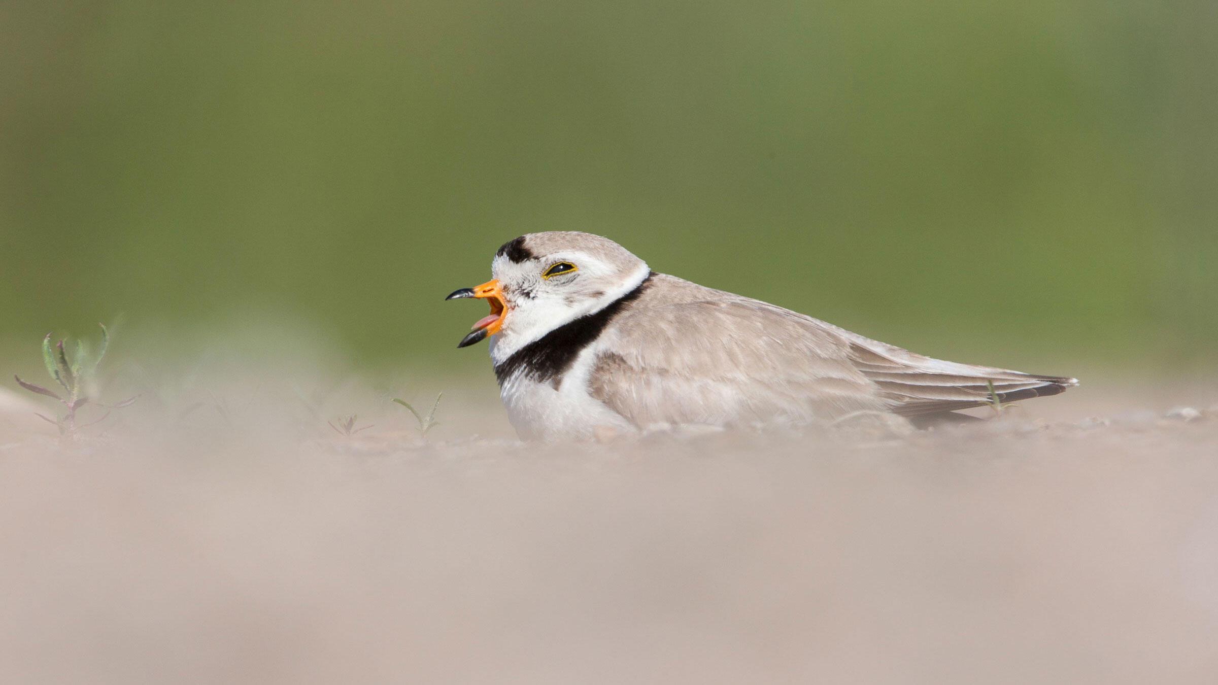 Piping Plover. Barb D'Arpino/Audubon Photography Awards