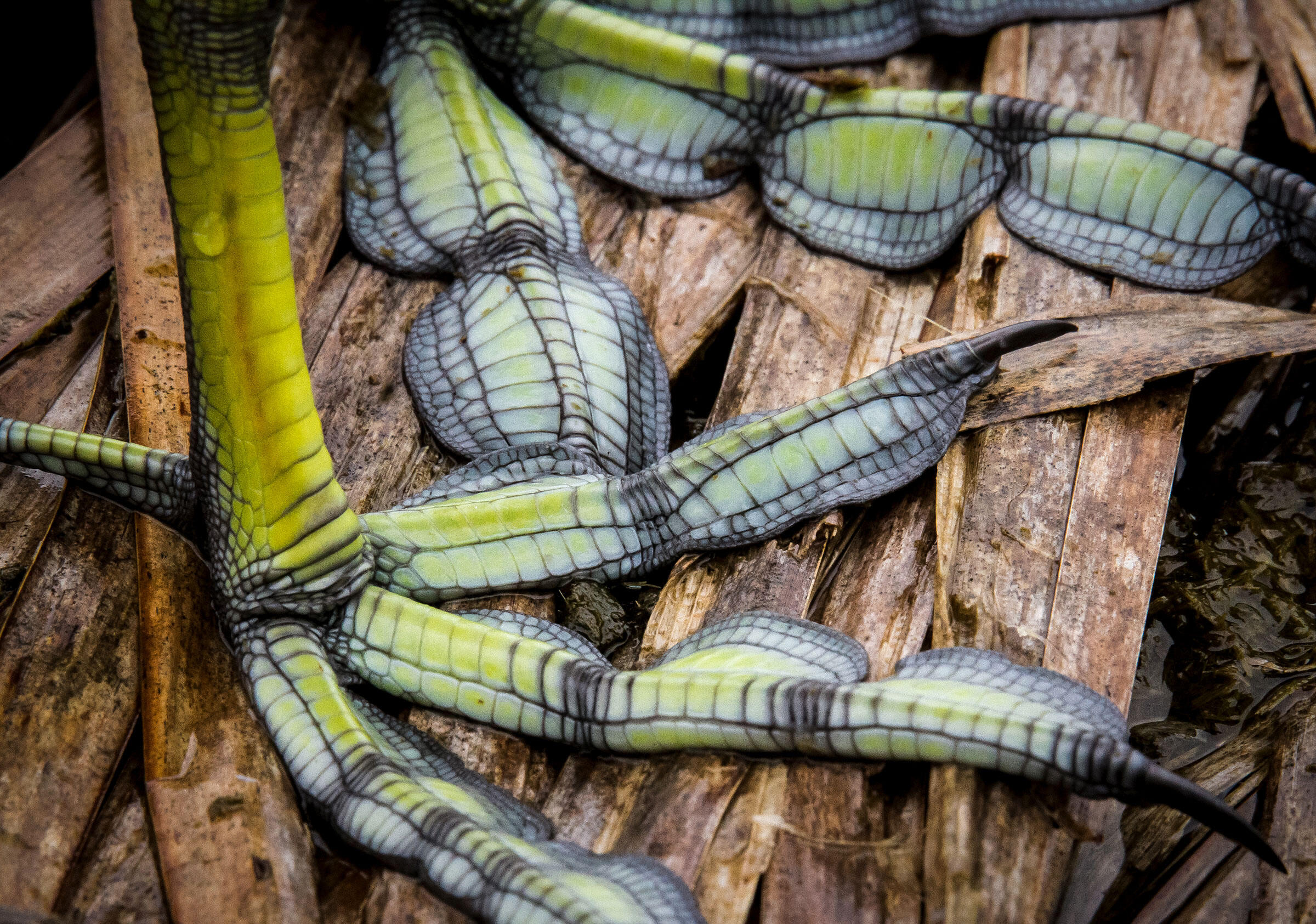 This stunning close-up of an American Coot's lobed feet landed in the 2018 Audubon Photography Awards Top 100. Kevin Malo