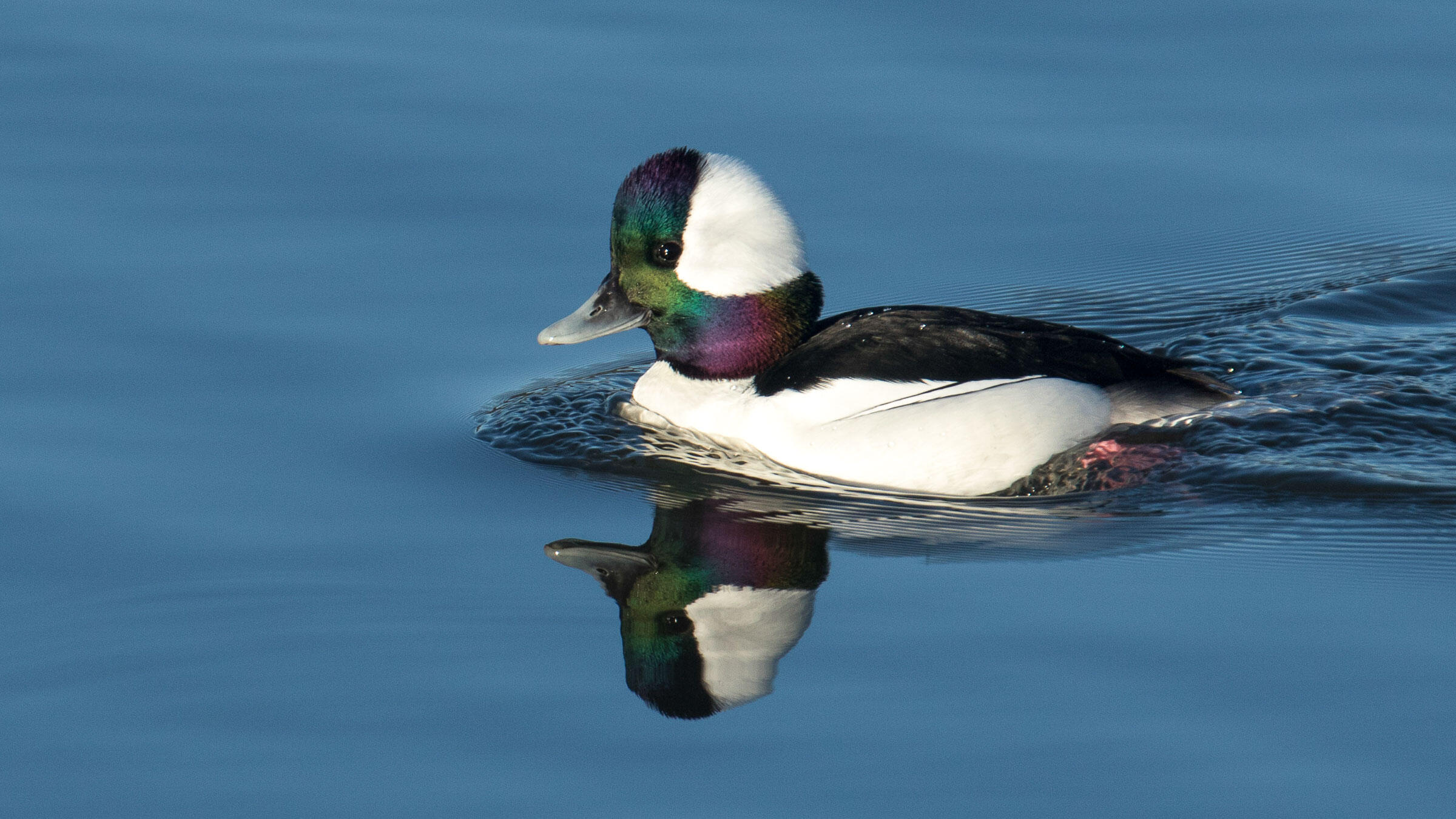 Don't be fooled: From a distance, the male Bufflehead looks all black and white, but an up-close inspection reveals an iridescent purple-green on its head feathers. Pam Polcyn/Audubon Photography Awards