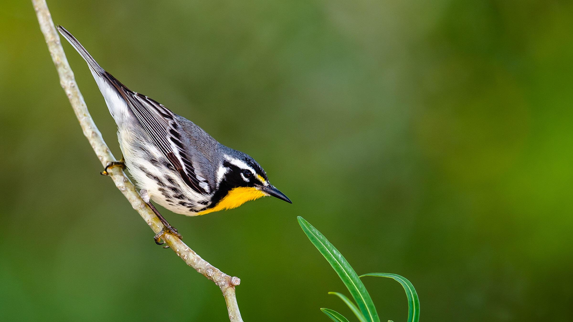 Yellow-throated Warbler. Lorraine Minns/Audubon Photography Awards