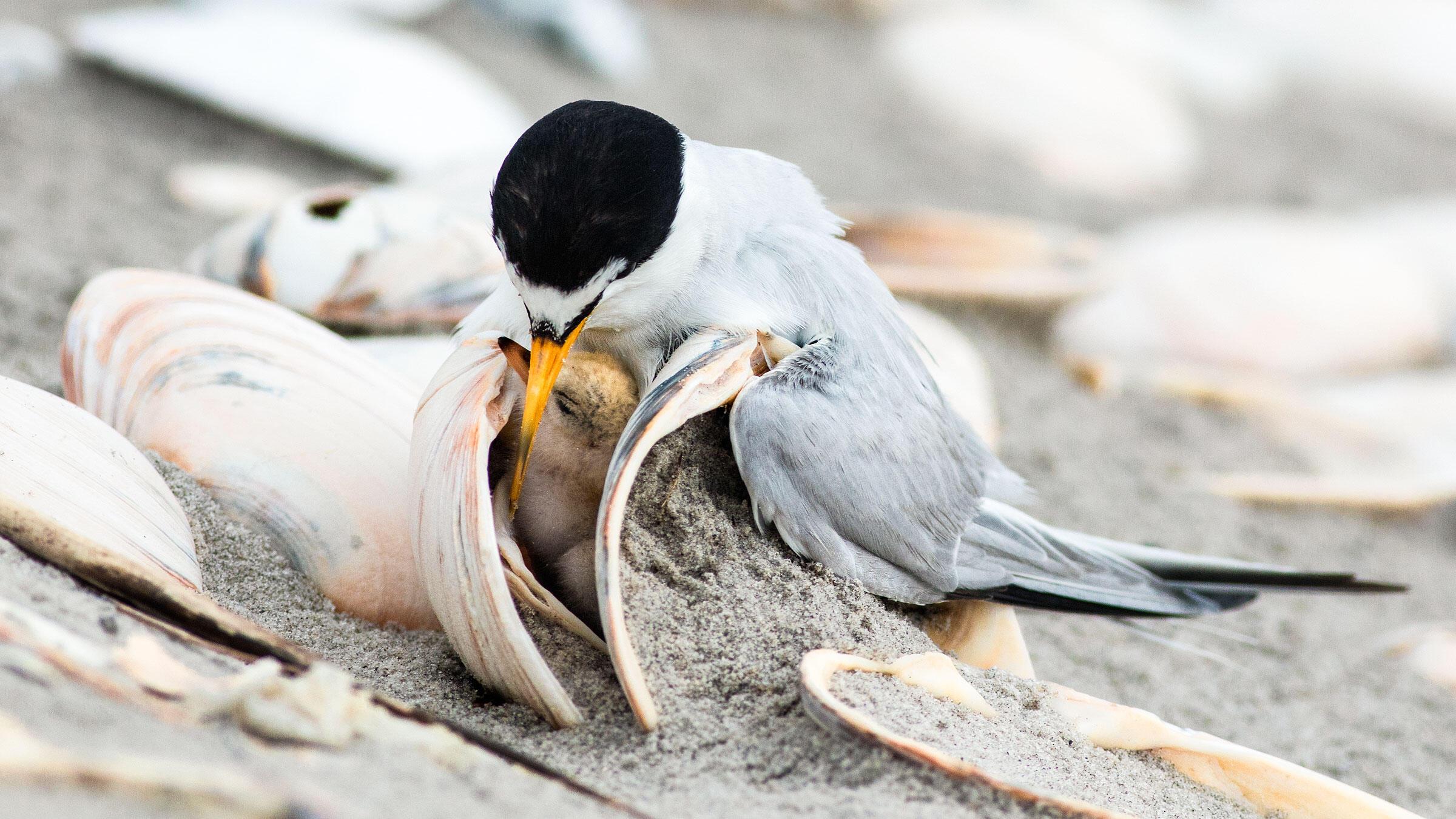 Least Tern with chick. Jim Verhagen/Audubon Photography Awards