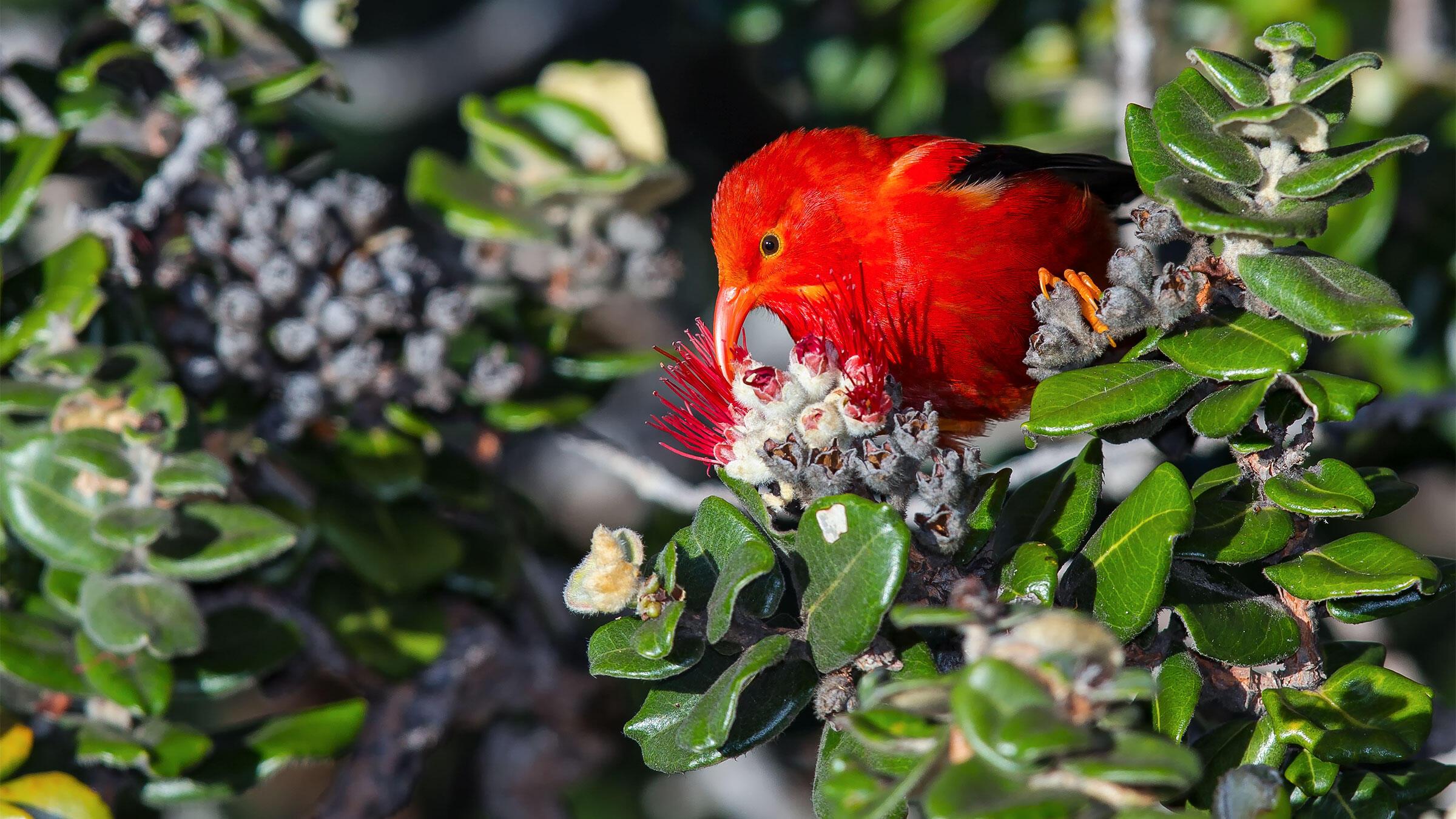 Climate change is shrinking ʻIʻiwi habitat and expanding the range of avian malaria. Boe Baty/Audubon Photography Awards