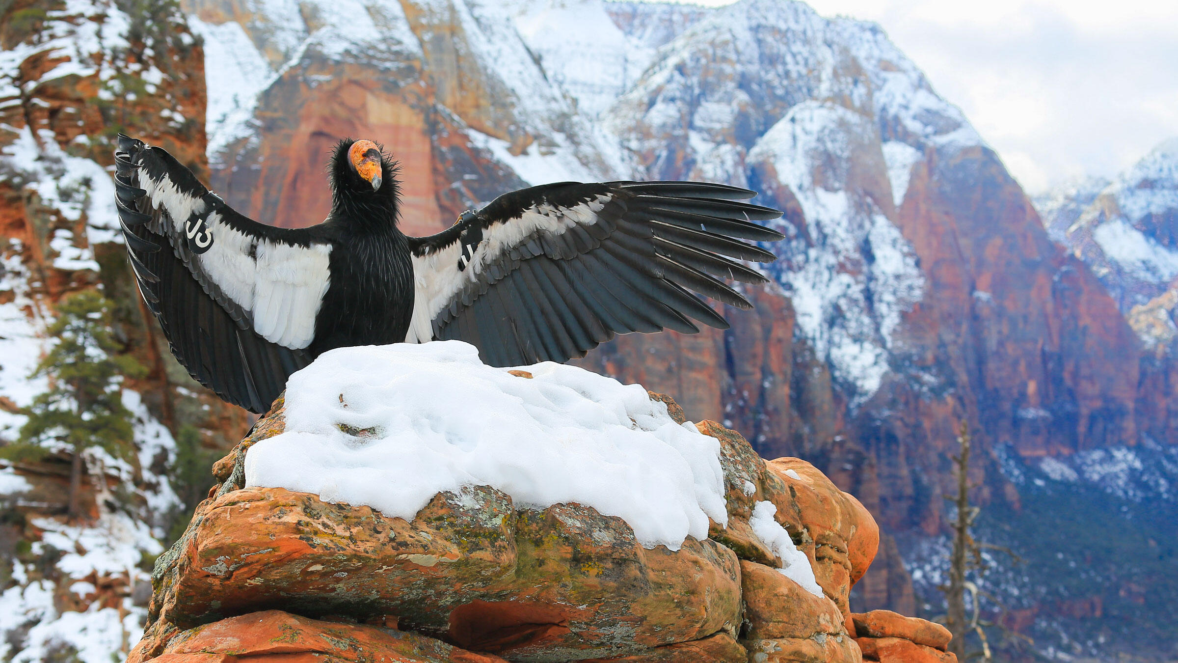 After a more than 100-year absence from Northern California, the California Condor might be reintroduced to its former range as soon as 2019. Madison Roberts/Audubon Photography Awards