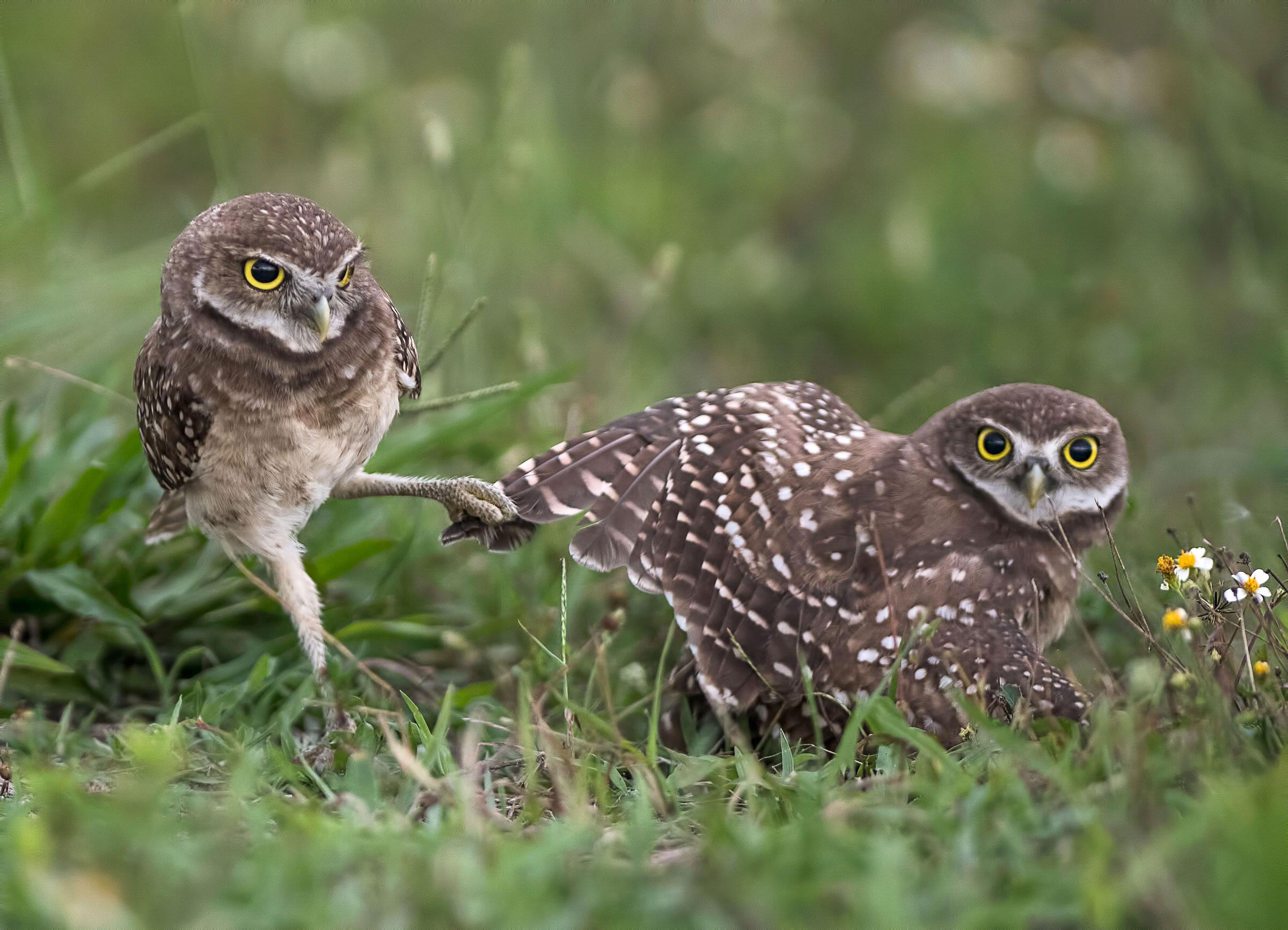 Burrowing Owls. Judy Lynn Malloch/Audubon Photography Awards
