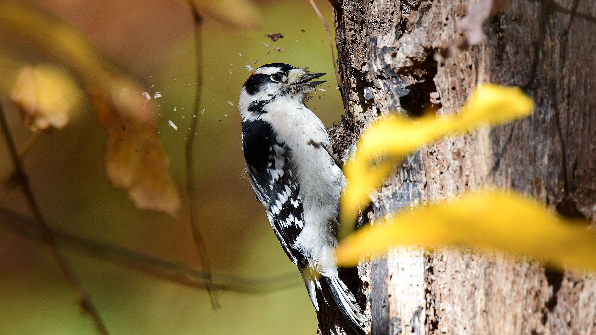Even with their itty-bitty beaks, Downy Woodpeckers can do some damage to a tree trunk. But how do their brains hold up in the process? Jake Zadik/Audubon Photography Awards