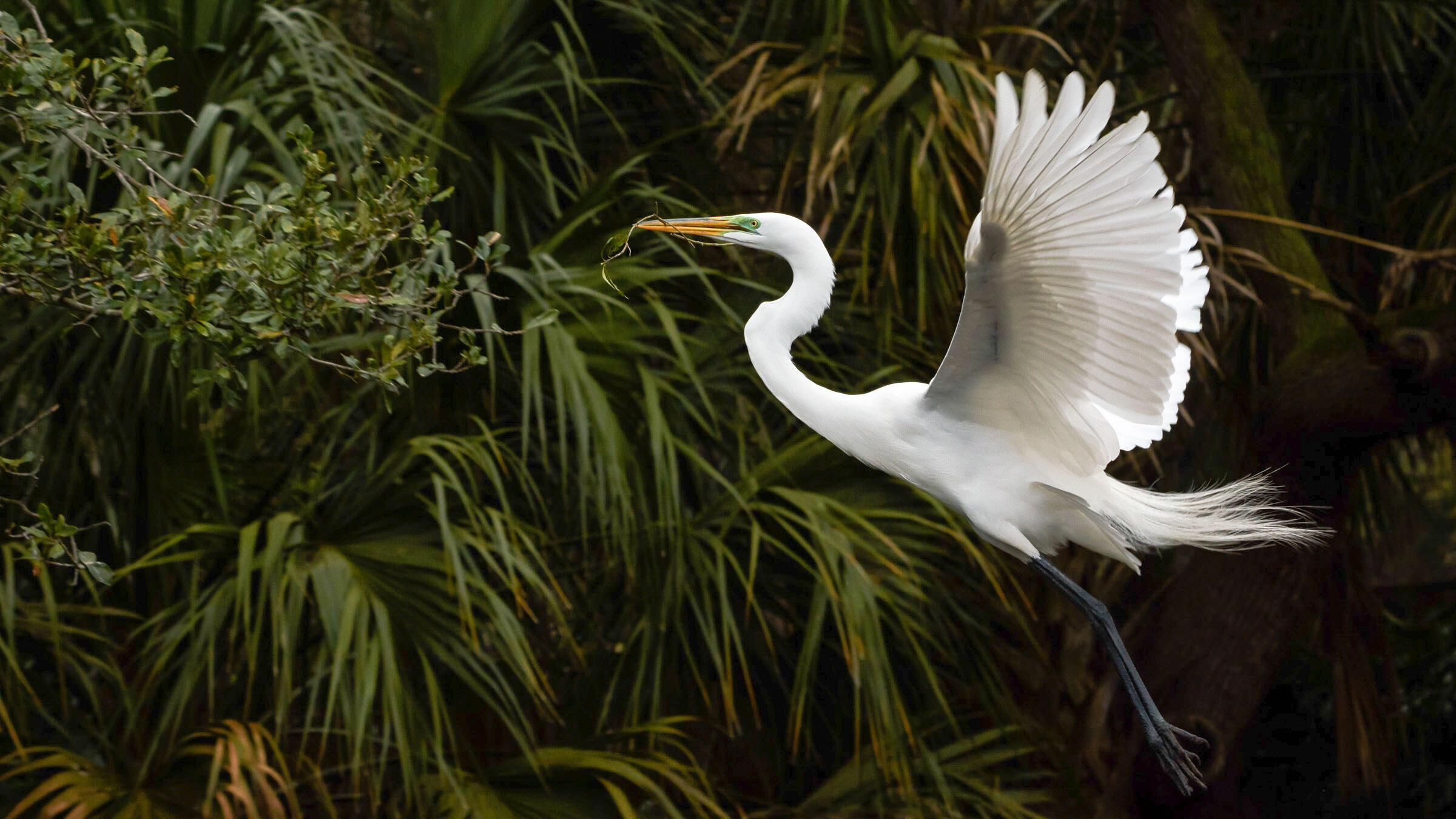 Great Egrets are common now only because grassroots activists urged Congress to pass the Migratory Bird Treaty Act a century ago, saving the regal birds from the plume trade. Trudy Walden/Audubon Photography Awards