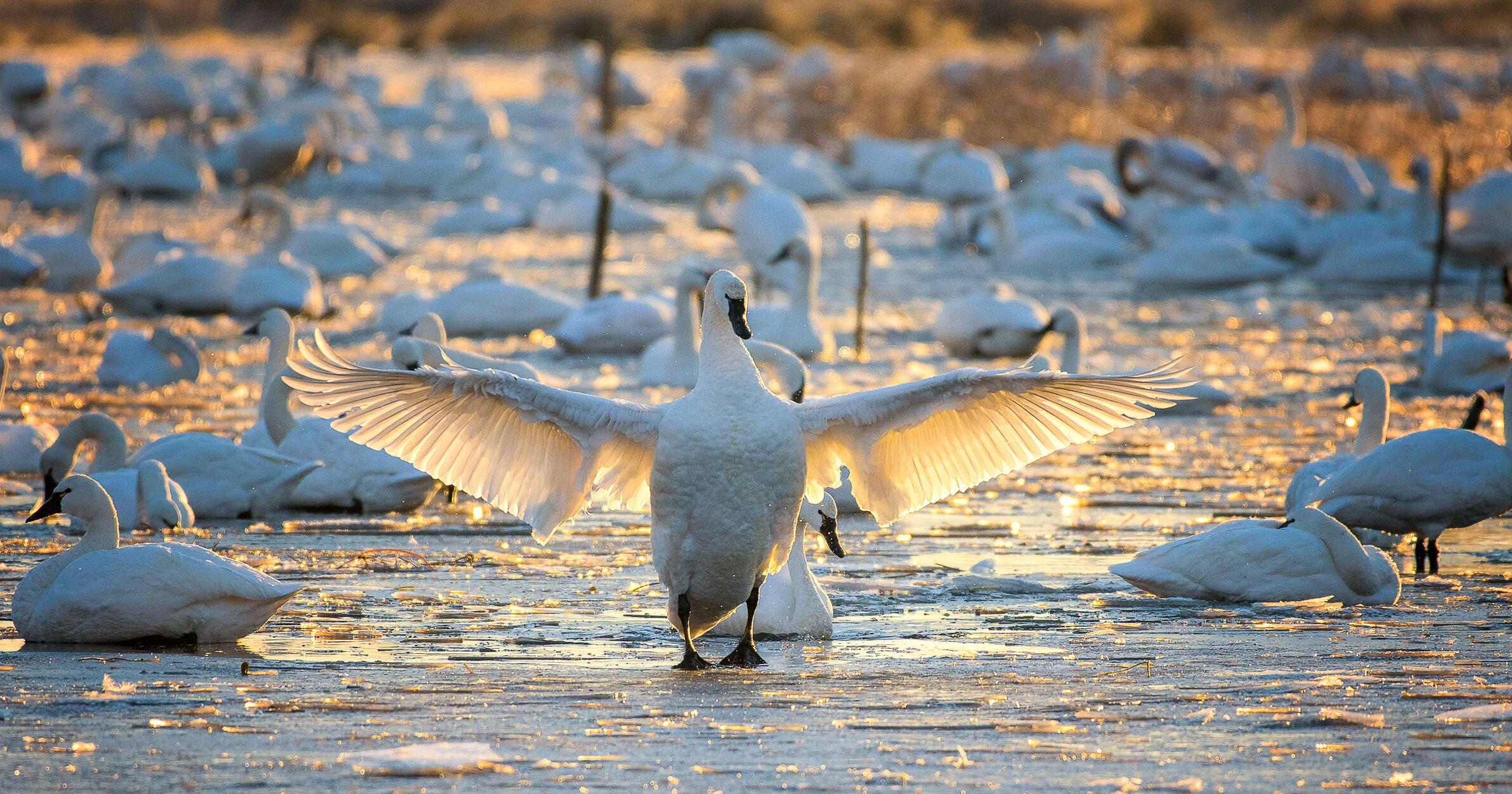 Tundra Swans. Lynn Long/Audubon Photography Awards
